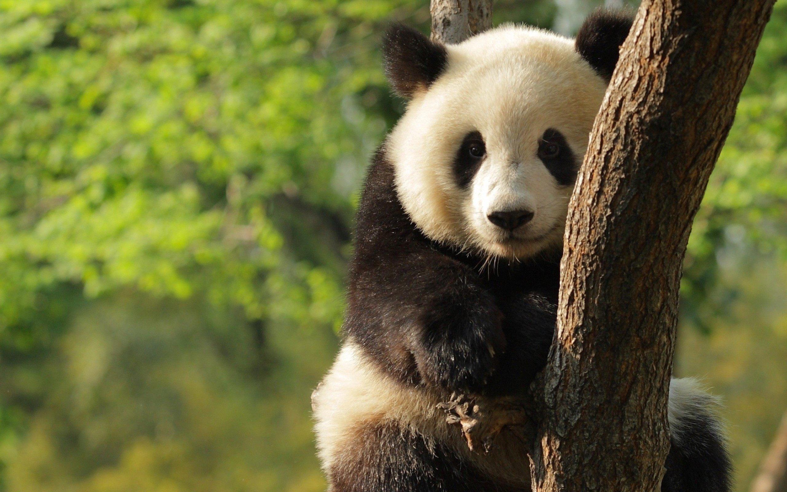 Baby panda bear wallpapers – photo#20