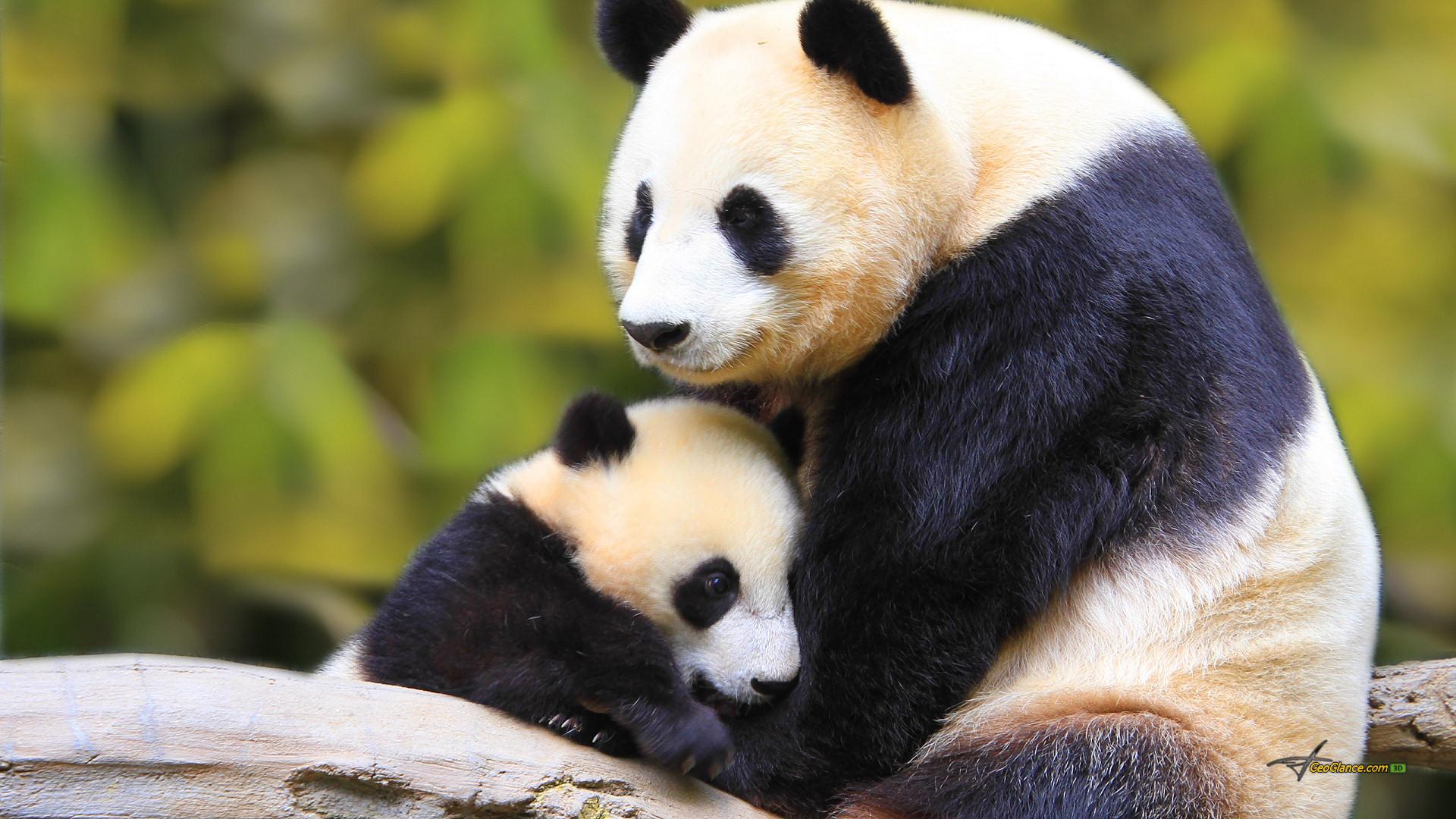 Mother and Baby Panda Wallpaper