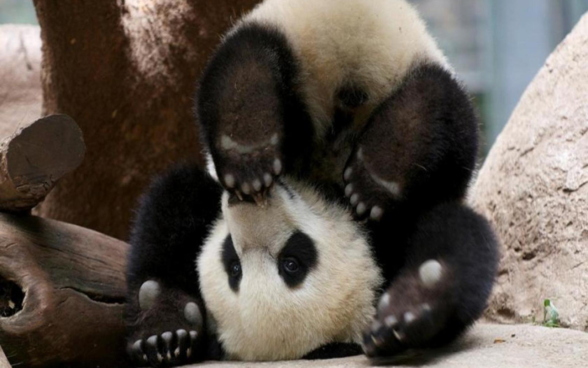 Panda pandas baer bears baby cute (72) wallpaper     364497 .