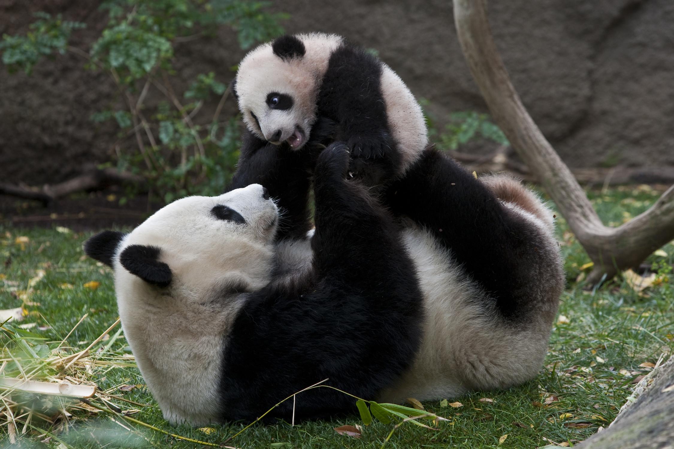 Cute Panda And Mom Wallpaper Wallpaper