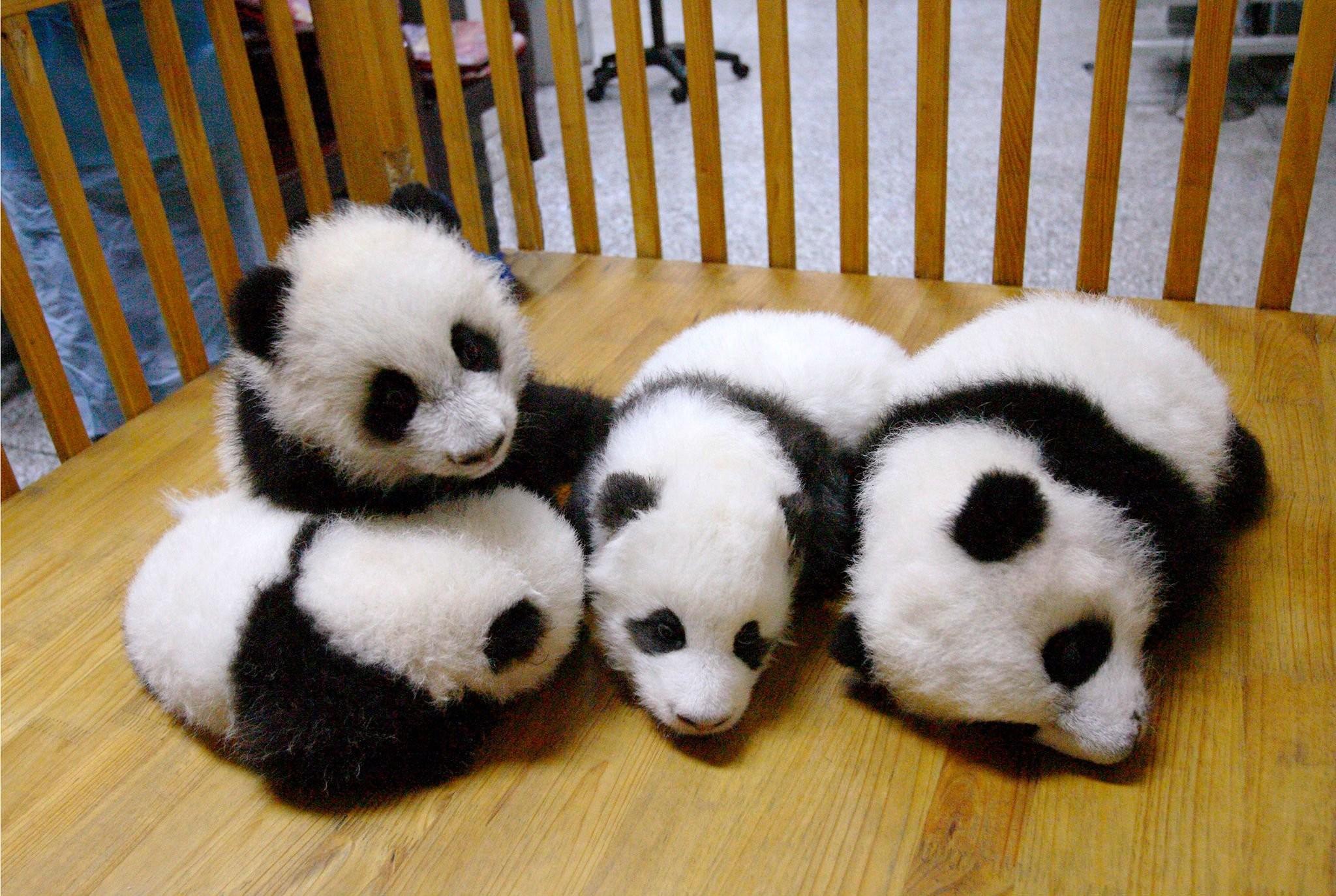 Panda pandas baer bears baby cute (29) wallpaper     364456    WallpaperUP