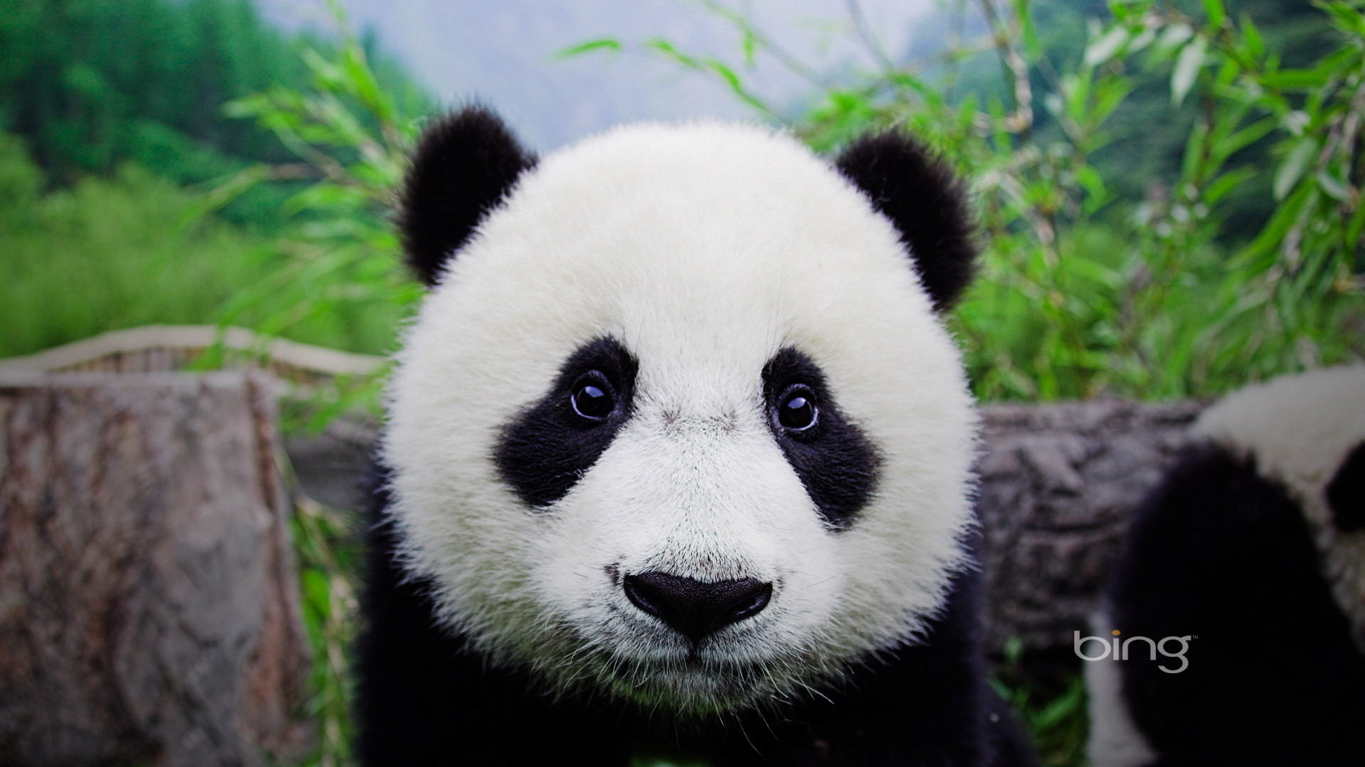 Panda Bear Cubs   Panda bear cub, animal, bamboo, bear, cub, · Bear  WallpaperAnimal WallpaperBaby …