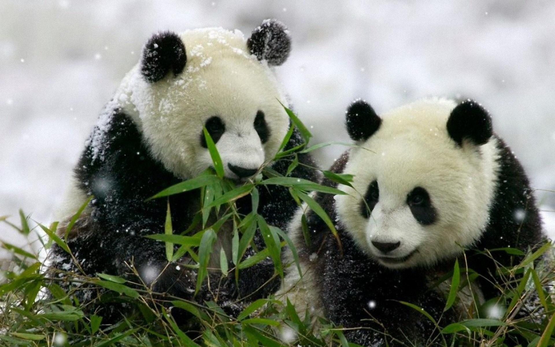 Do you Love Panda? You love to keep them as wallpaper? Get our HD