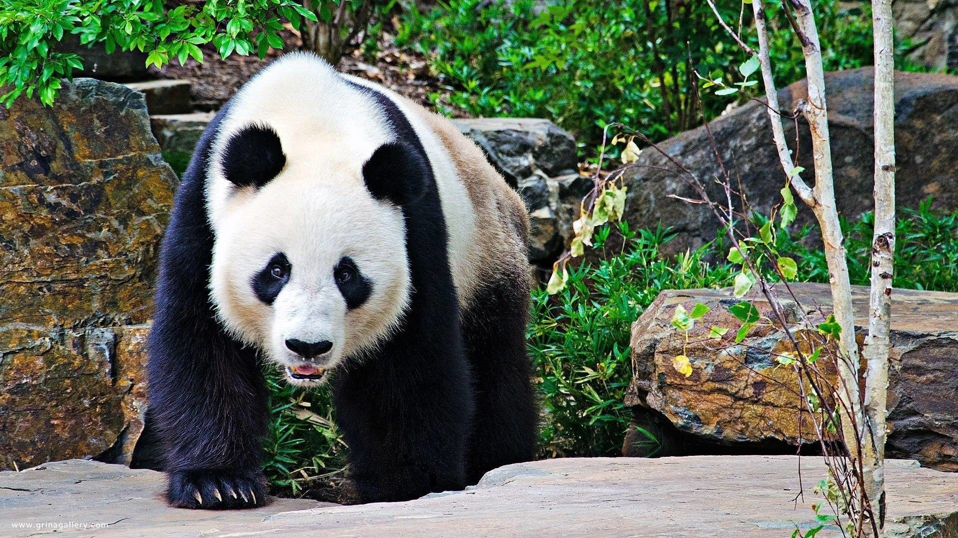 Panda bear wallpaper Wide or HD   Animals Wallpapers