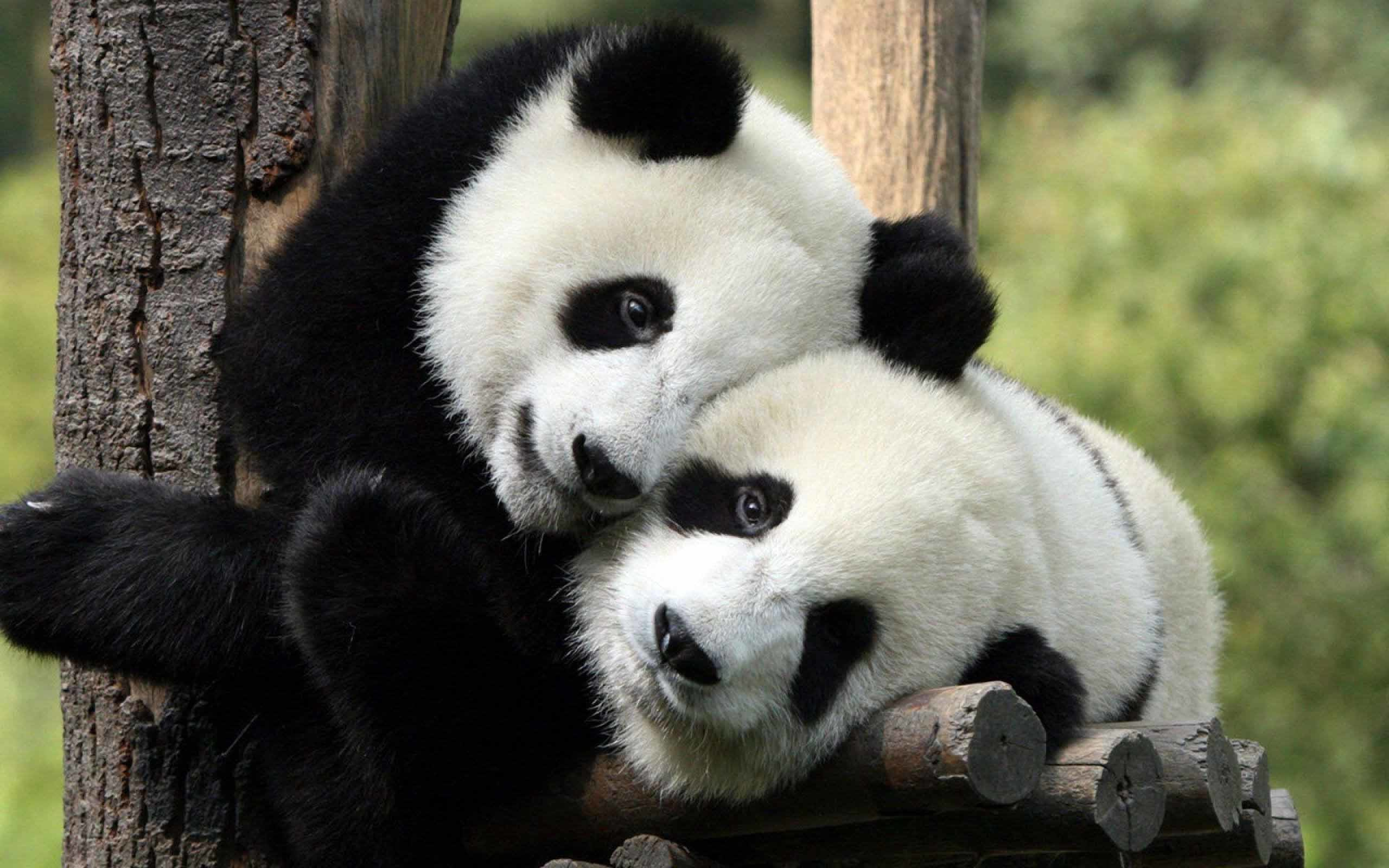 Giant panda animal love hd wallpaper download
