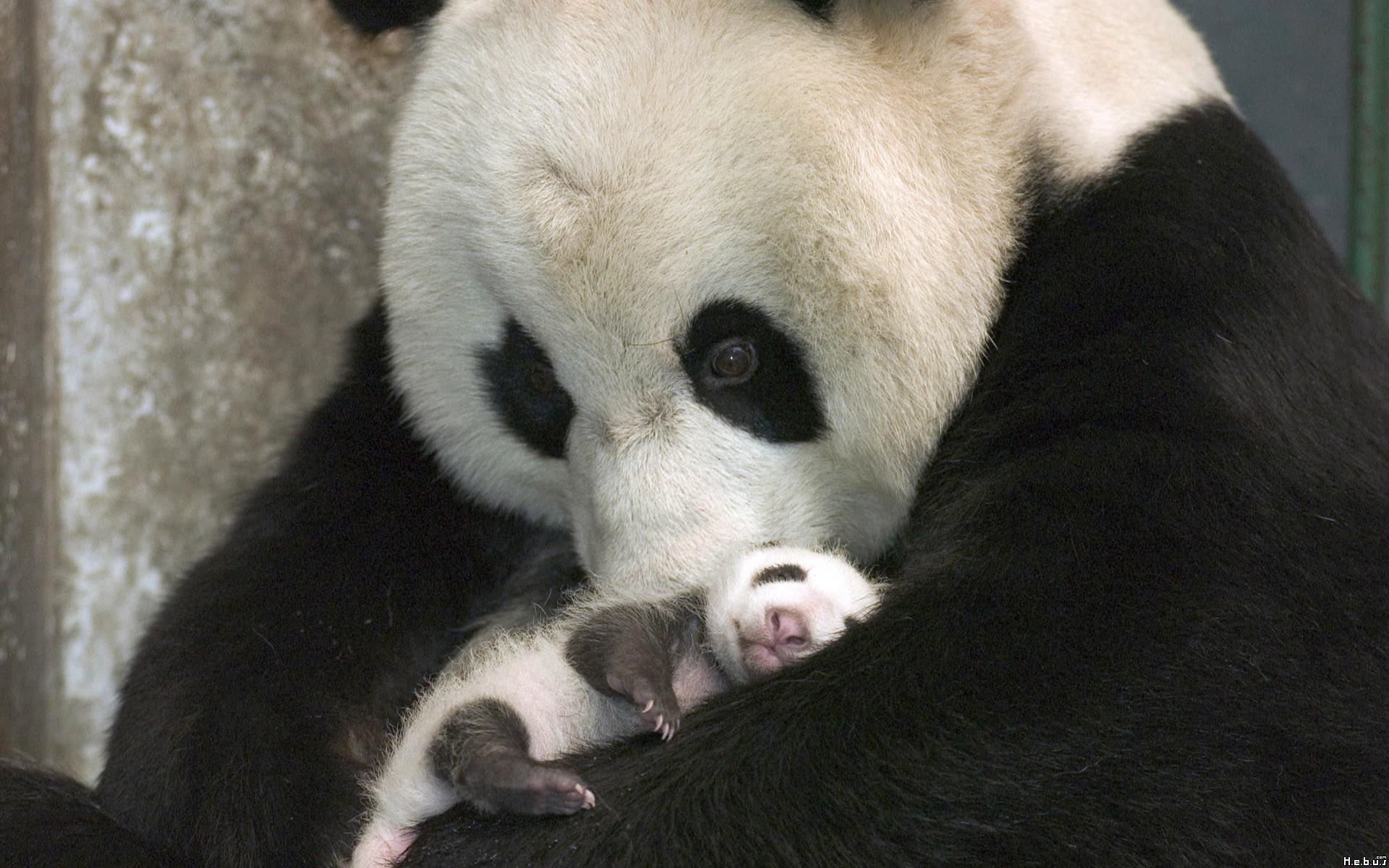 Panda Bear Animal panda bear classification