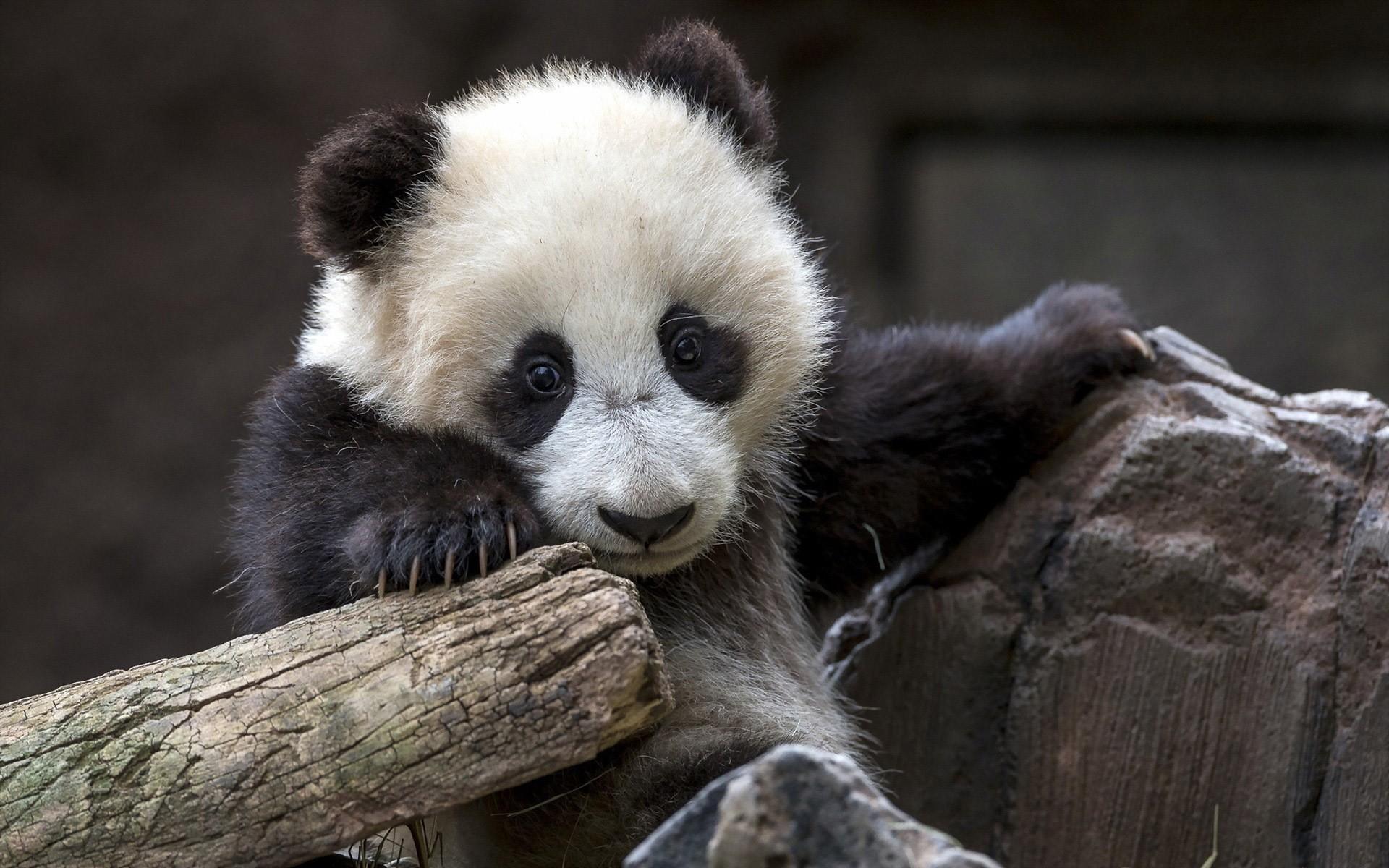 Baby Panda Bear Wallpaper Wallpapersafari
