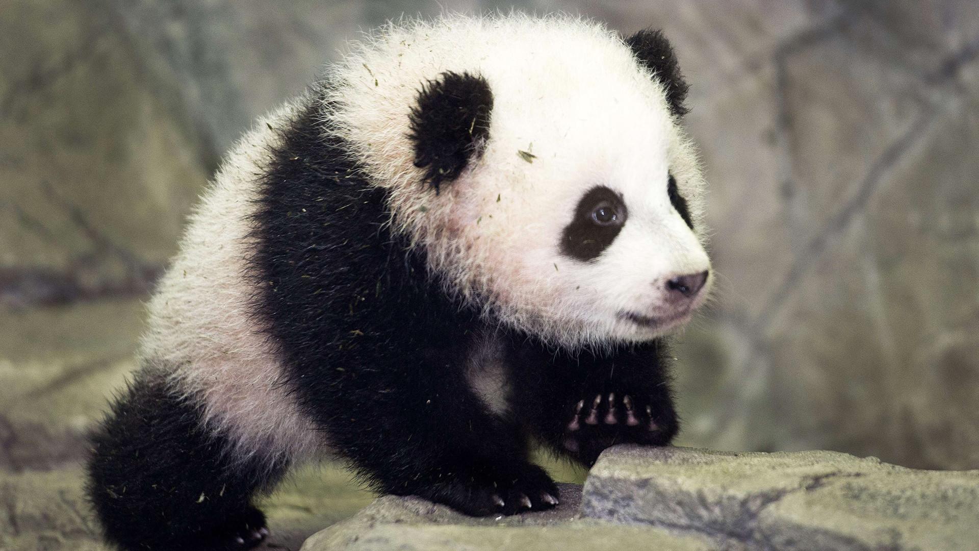 WASHINGTON – The National Zoo says panda cub Bao Bao (bow bow) is growing  just as she should be. kvoa.com   Animals – Da Bears   Pinterest   Cubs  wallpaper, …