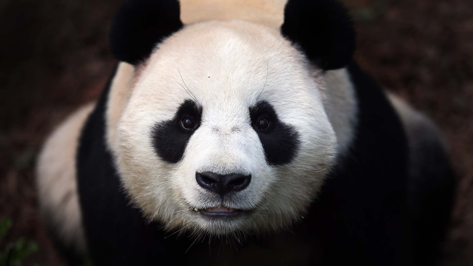 The 20 best images about Panda on Pinterest   How to draw, Panda drawing  and Wallpaper pictures