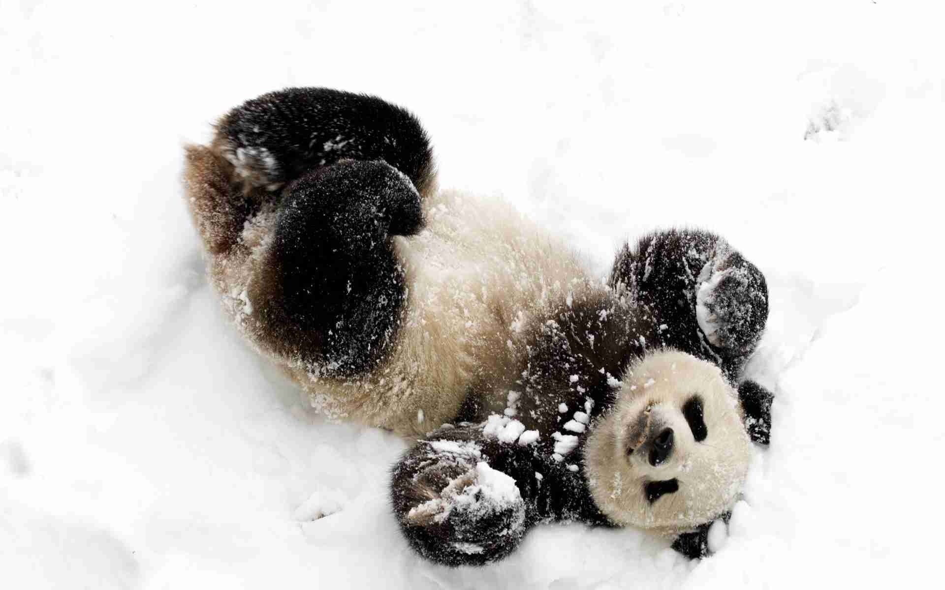 Baby Panda In Snow Wallpapers 1080p with High Definition Wallpaper