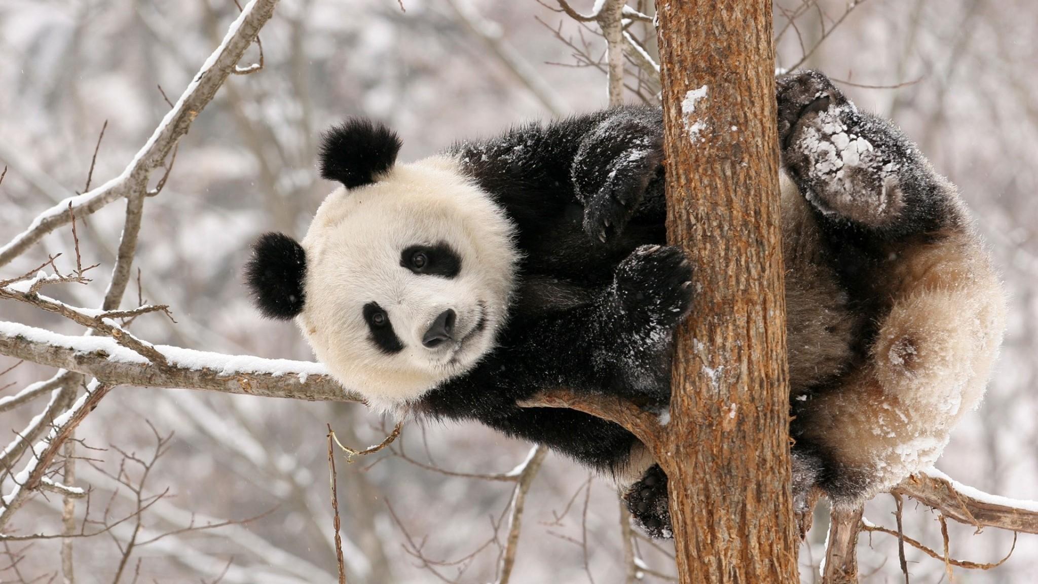 Preview wallpaper panda, branch, sit, snow 2048×1152