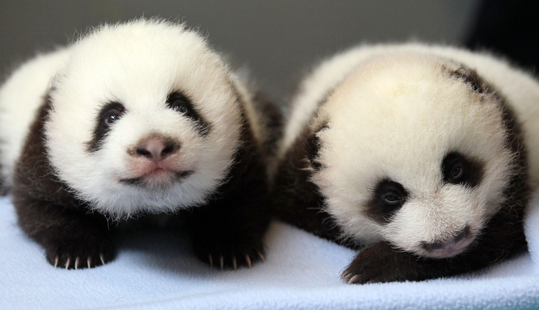 Panda pandas baer bears baby cute (41) wallpaper     364472    WallpaperUP
