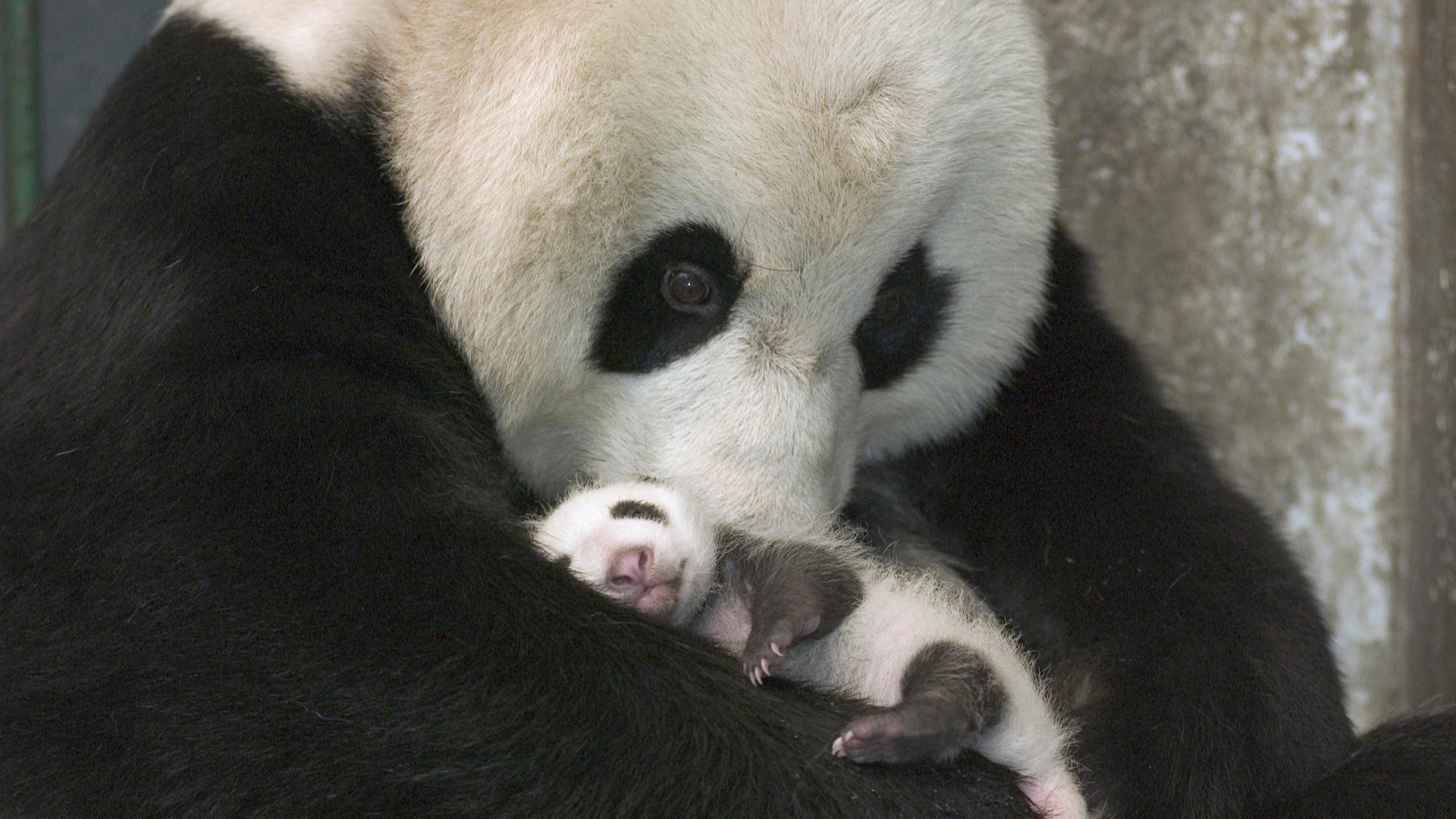 Panda Wallpapers   Desktop Wallpapers