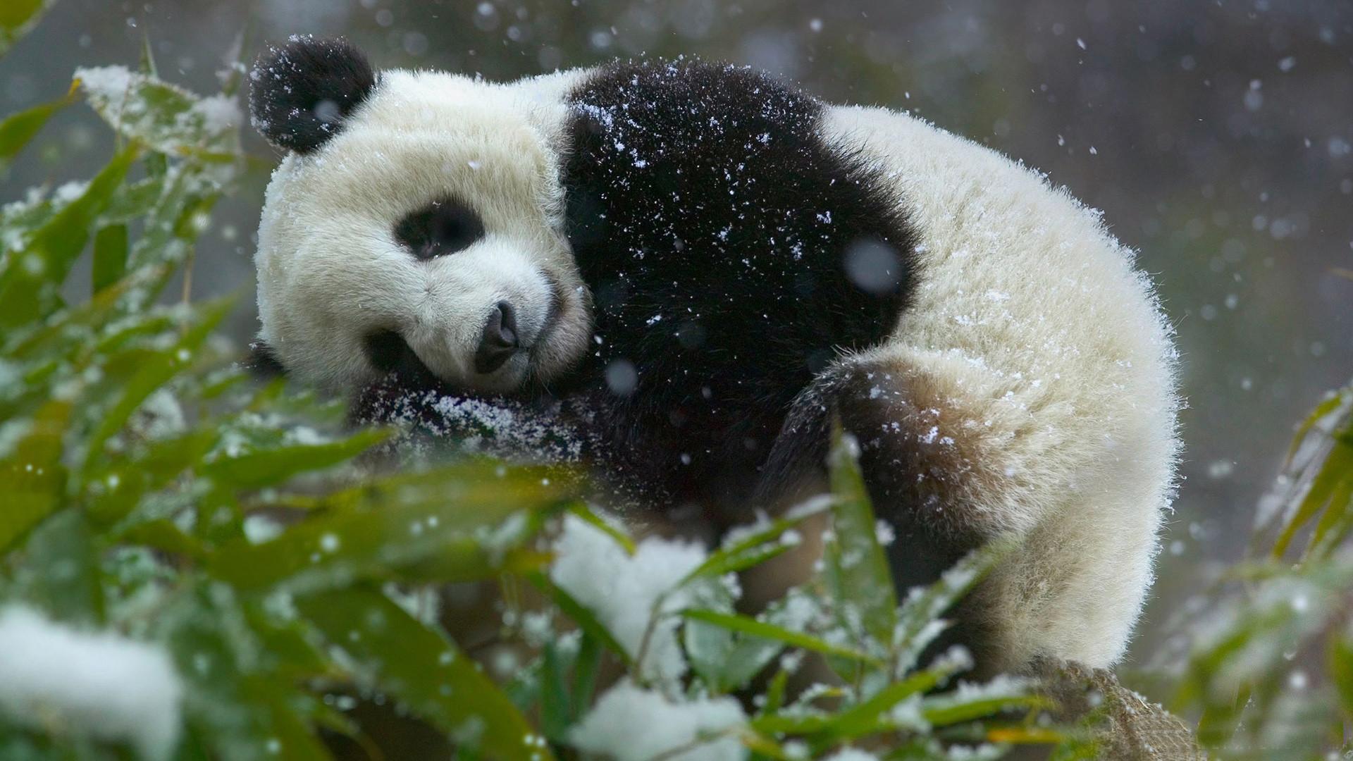 Panda Bear Wallpaper – JnsrmgkSB i-Journal