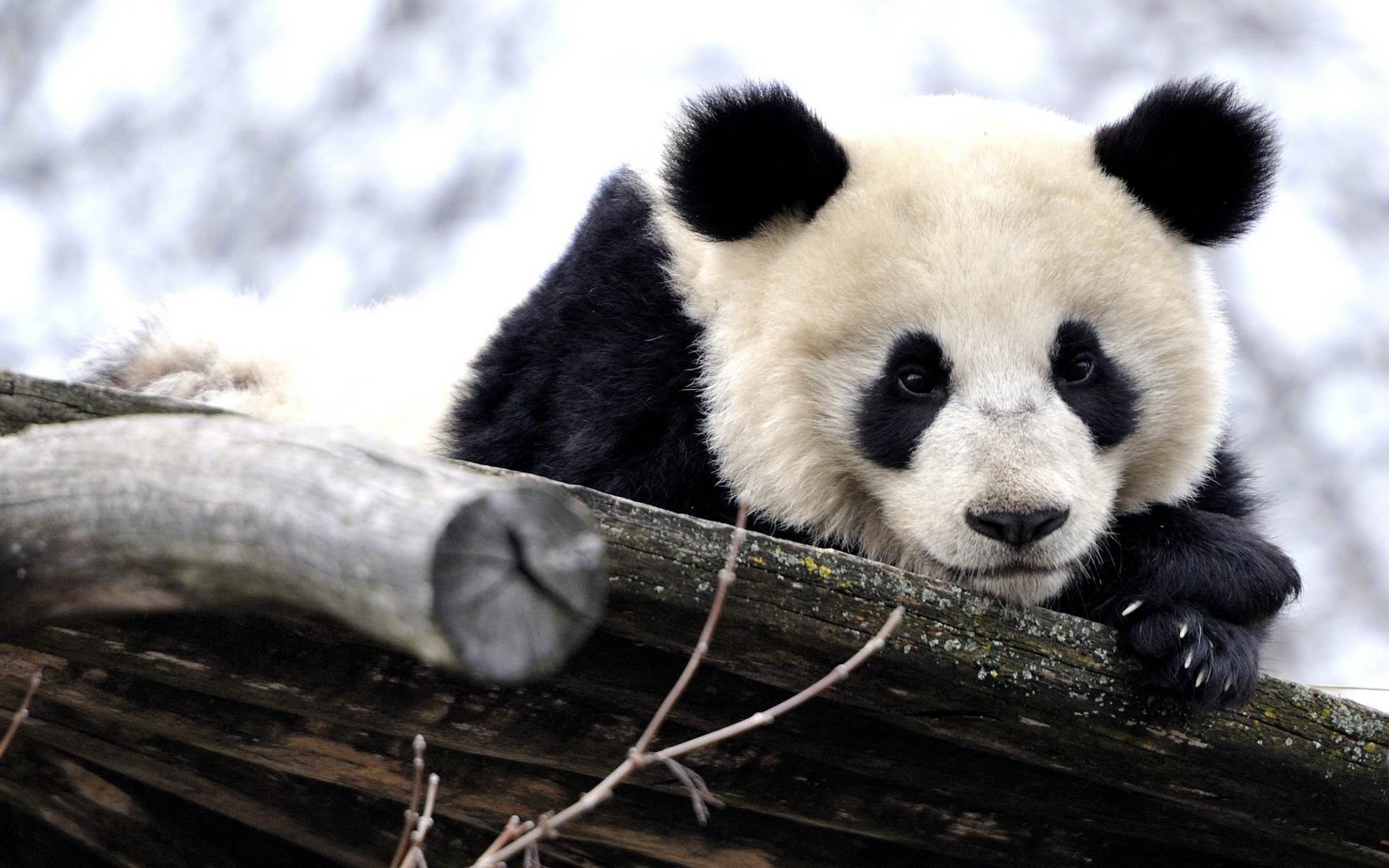 Baby Panda In Snow Wallpapers HD with High Definition Wallpaper  px 660.64 KB Animals Bear