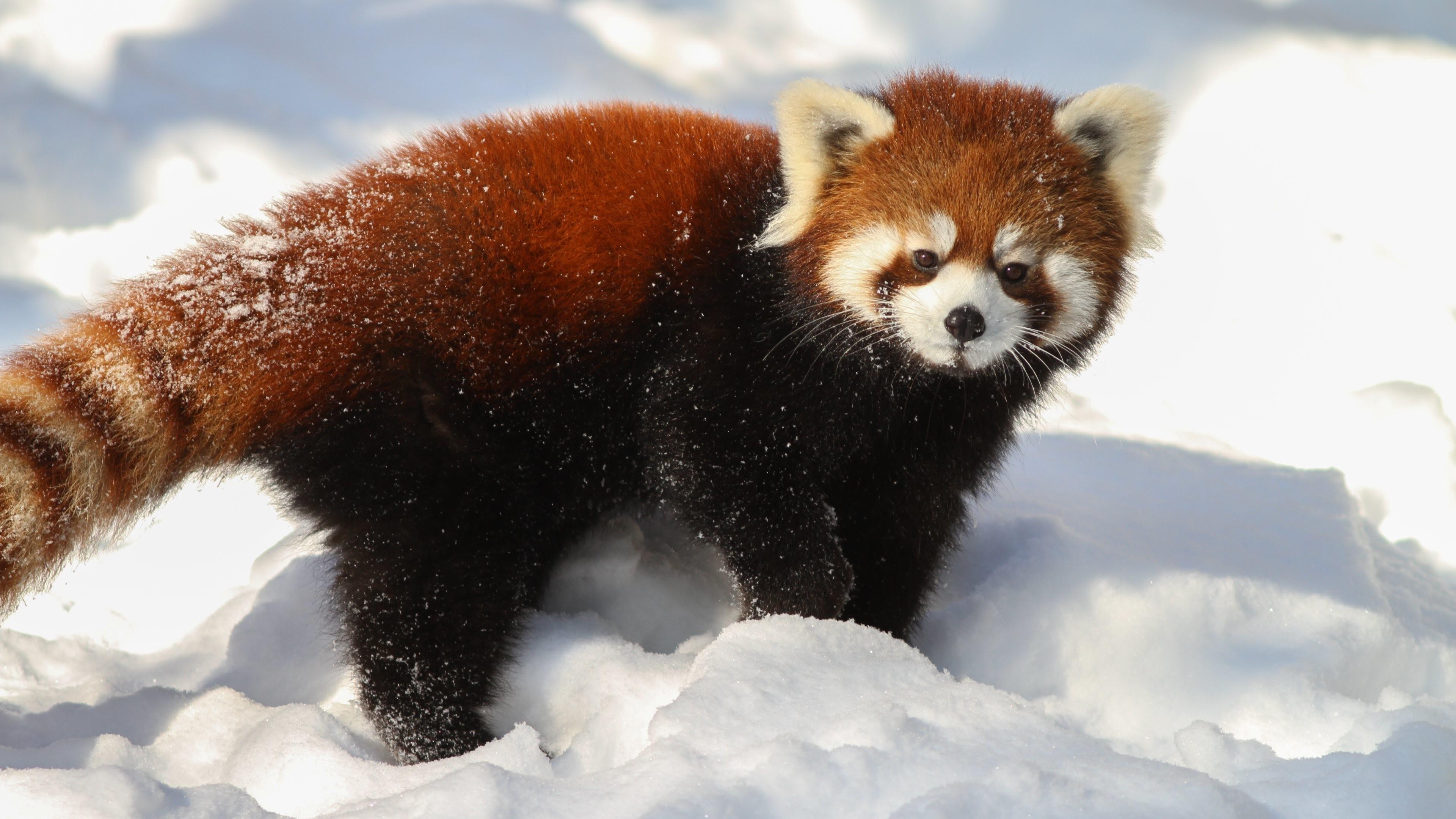 Red Panda Bear   Baby Red Panda Bears Red-panda-ultra-hd.