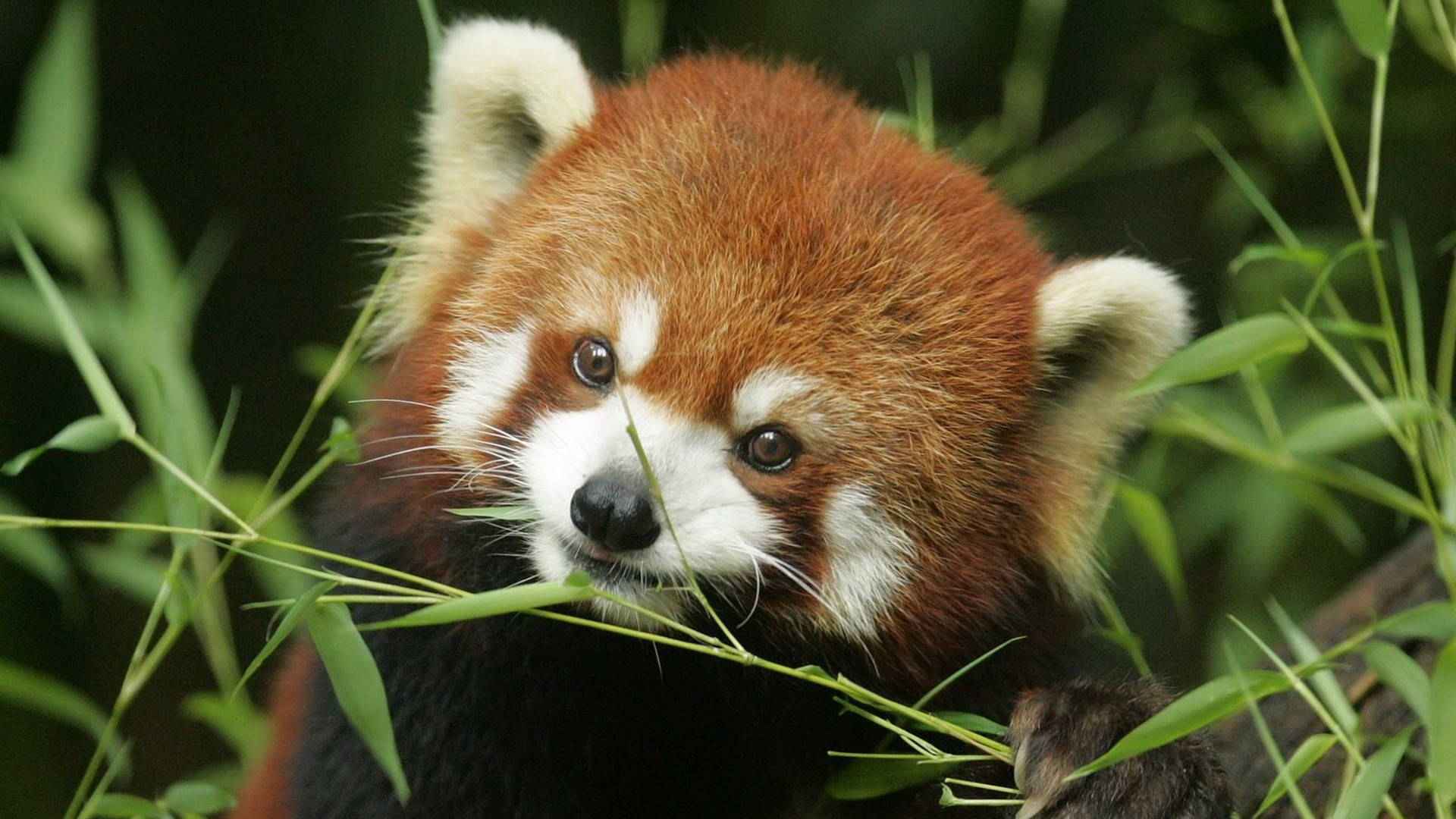 HD Wallpaper   Background ID:360920. Animal Red Panda