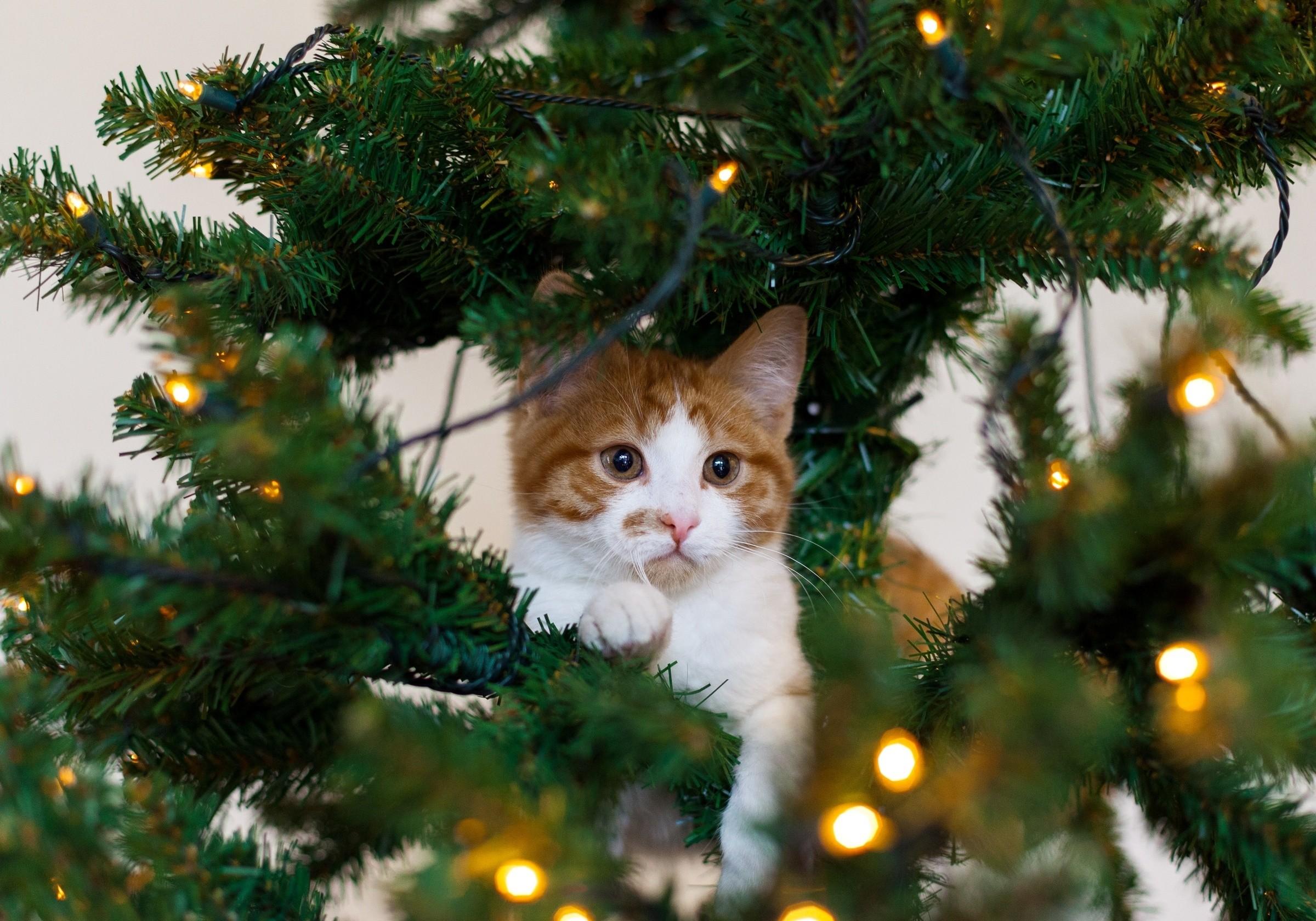 … kitten cat red tree cat white christmas wallpaper …
