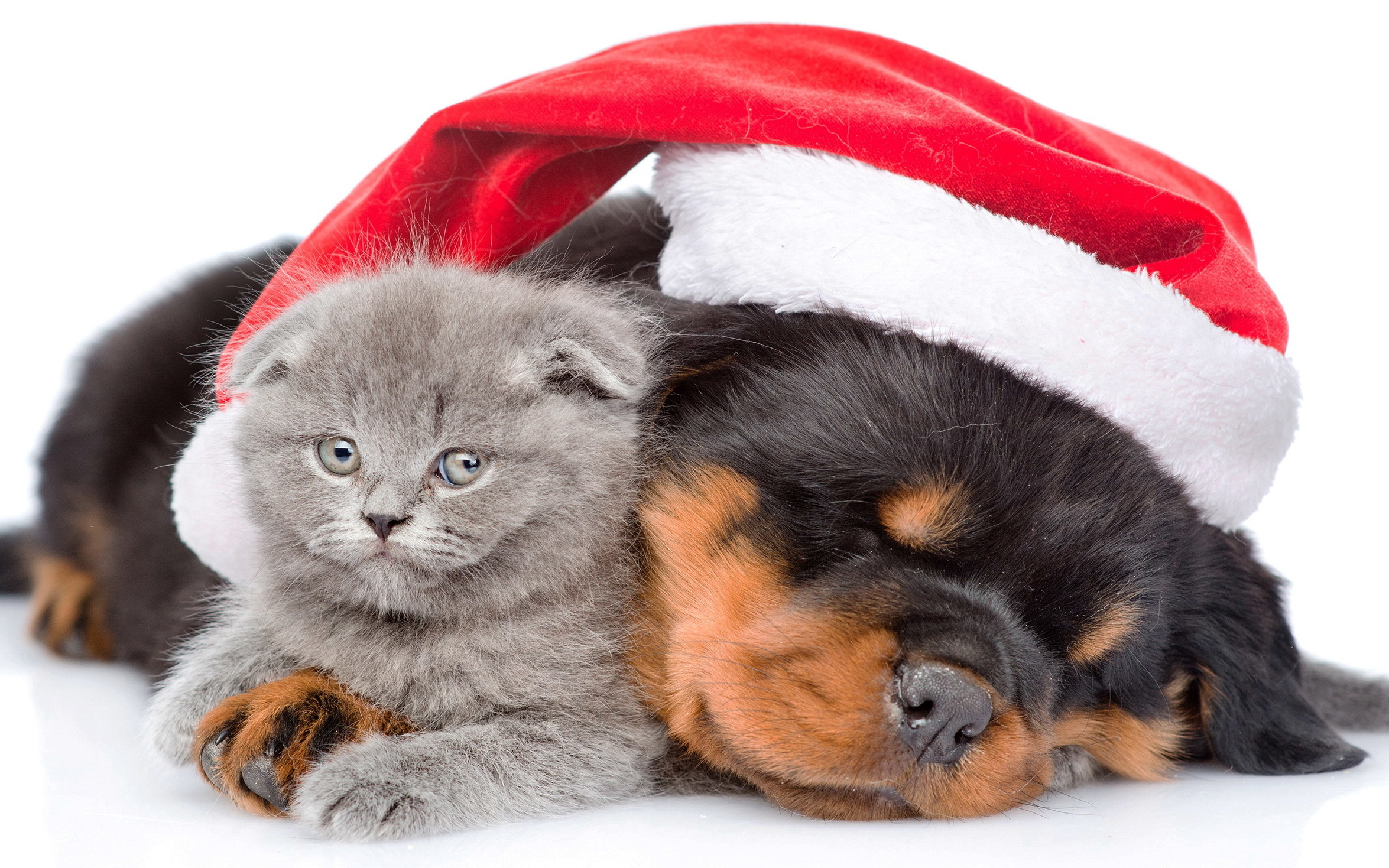Animal – Cat & Dog Holiday Christmas Puppy Kitten Cute Santa Hat Wallpaper