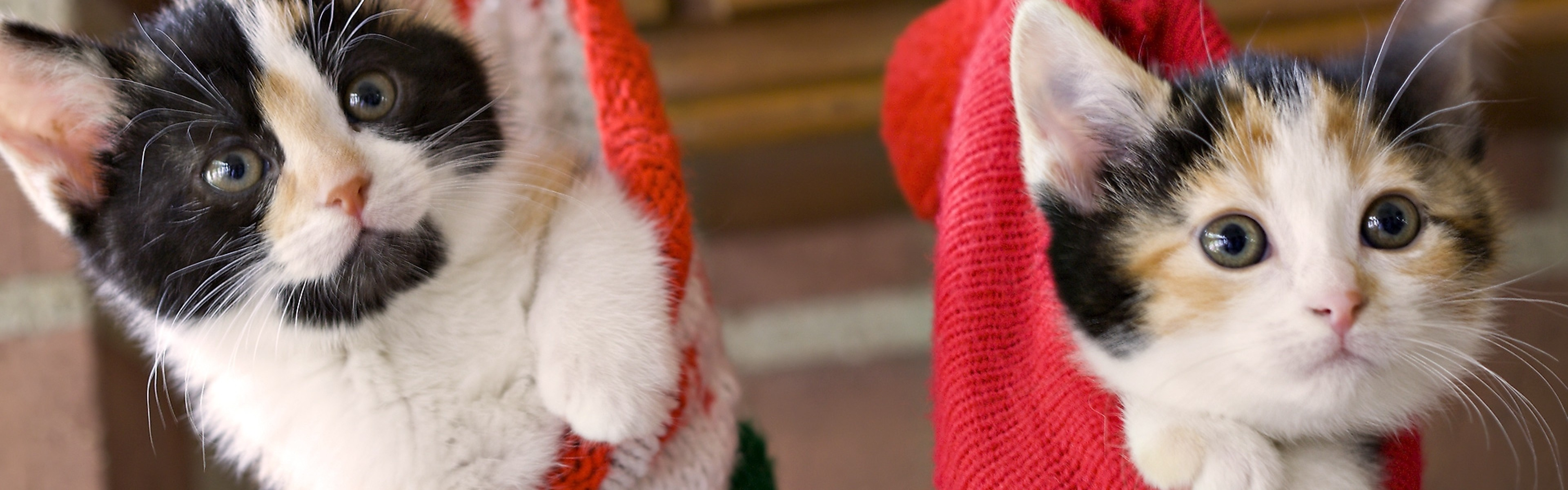 Wallpaper kittens, hang, socks, holiday, christmas, fluffy, couple