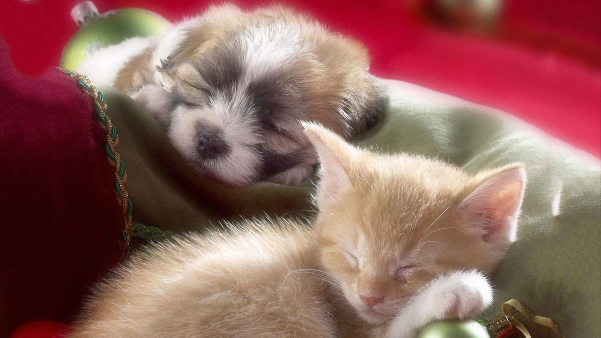 hd pics photos attractive christmas pets kitten puppy cat dog sleeping  beautiful nice hd quality desktop