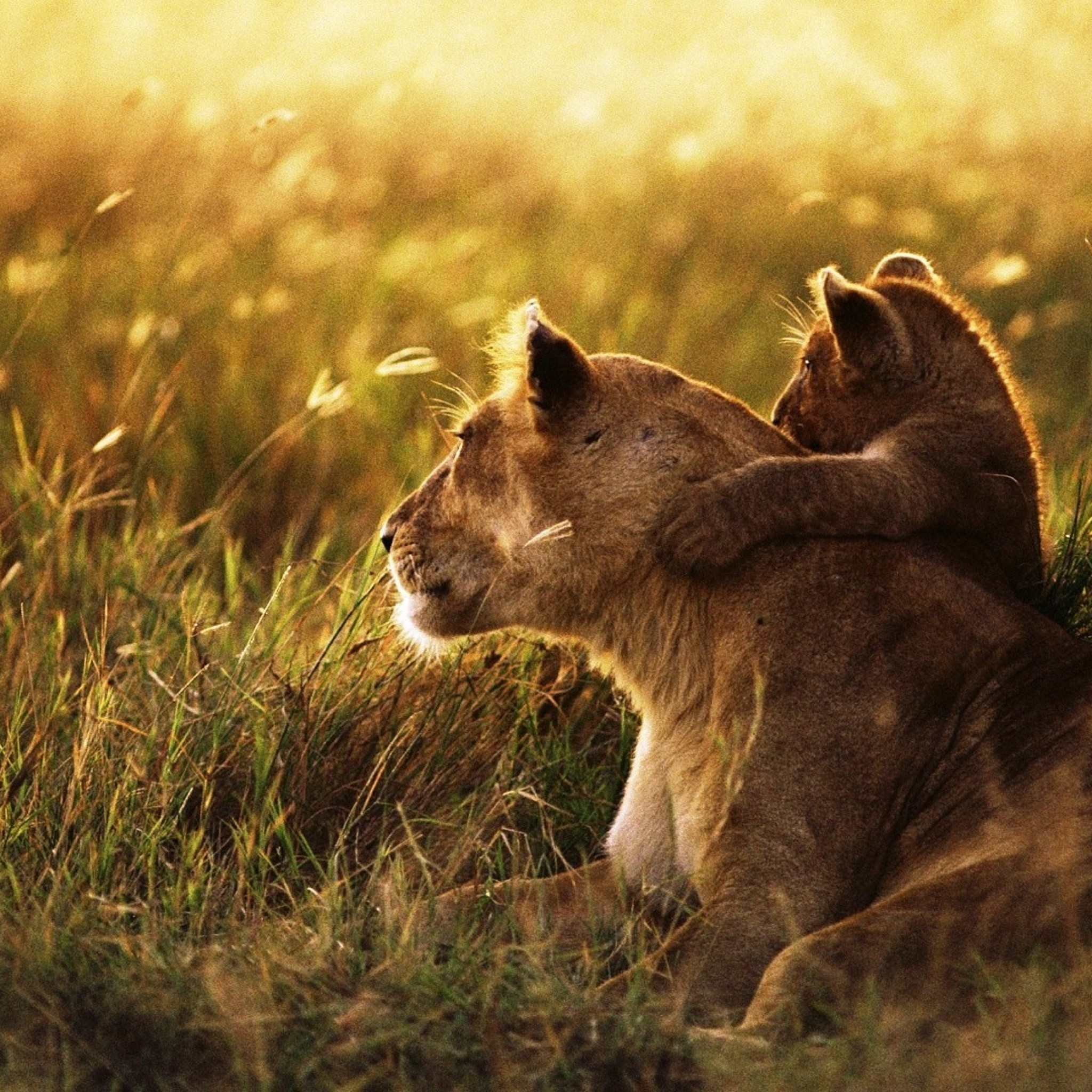 Beautiful Photos Of Lion Cubs You Must Not Miss Utterly Cute Yet. Wallpaper  Wallpapers Page 257