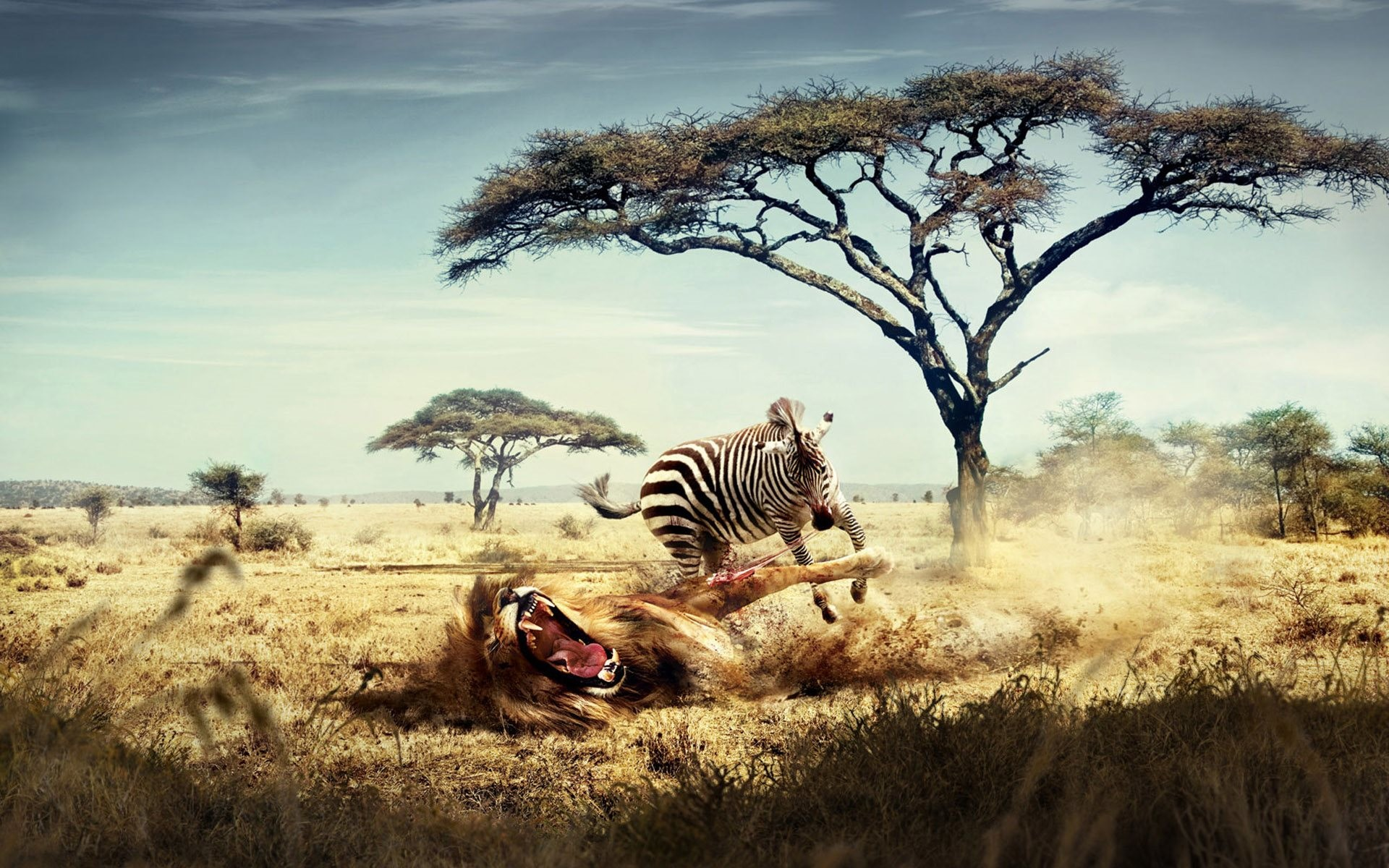 Wallpaper: Zebra revenge