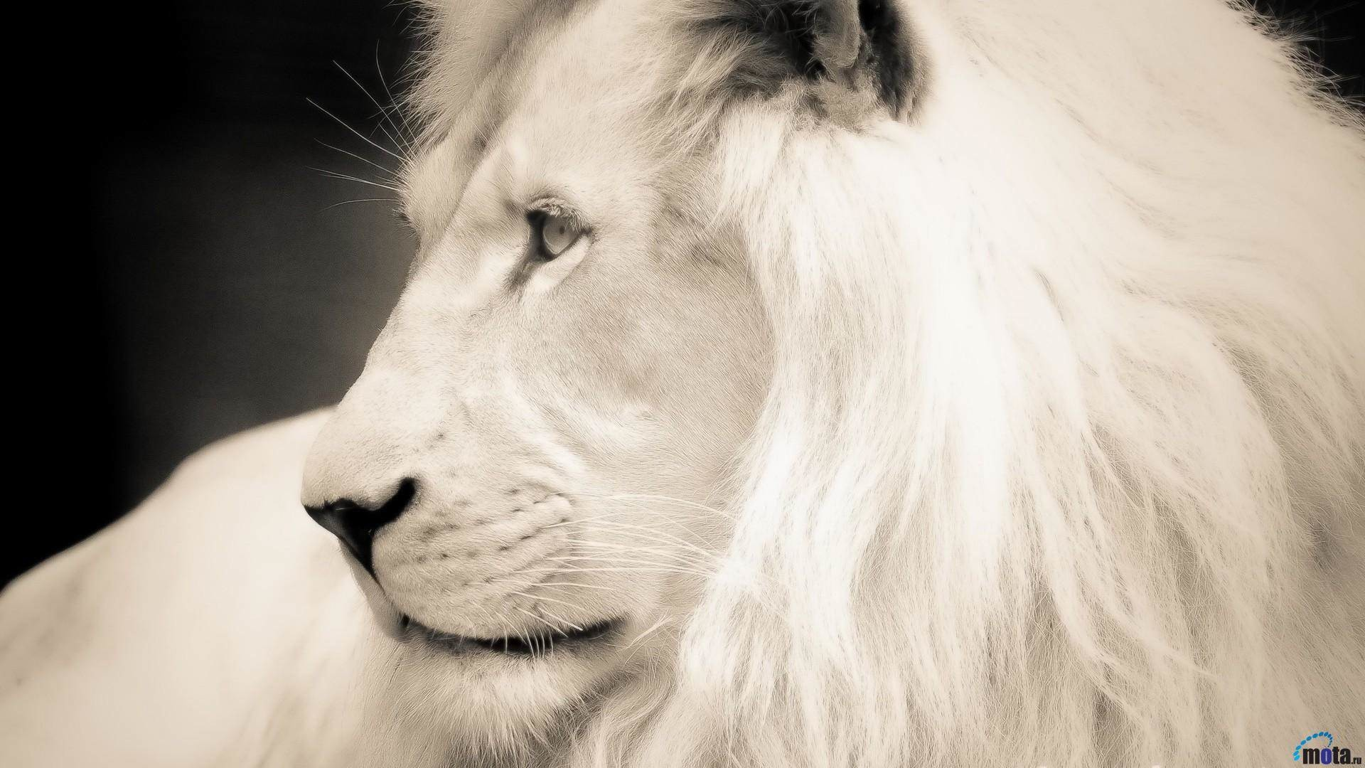 White Lion HD Wallpapers Backgrounds Wallpaper 1920×1080 White Lion Images    Adorable Wallpapers