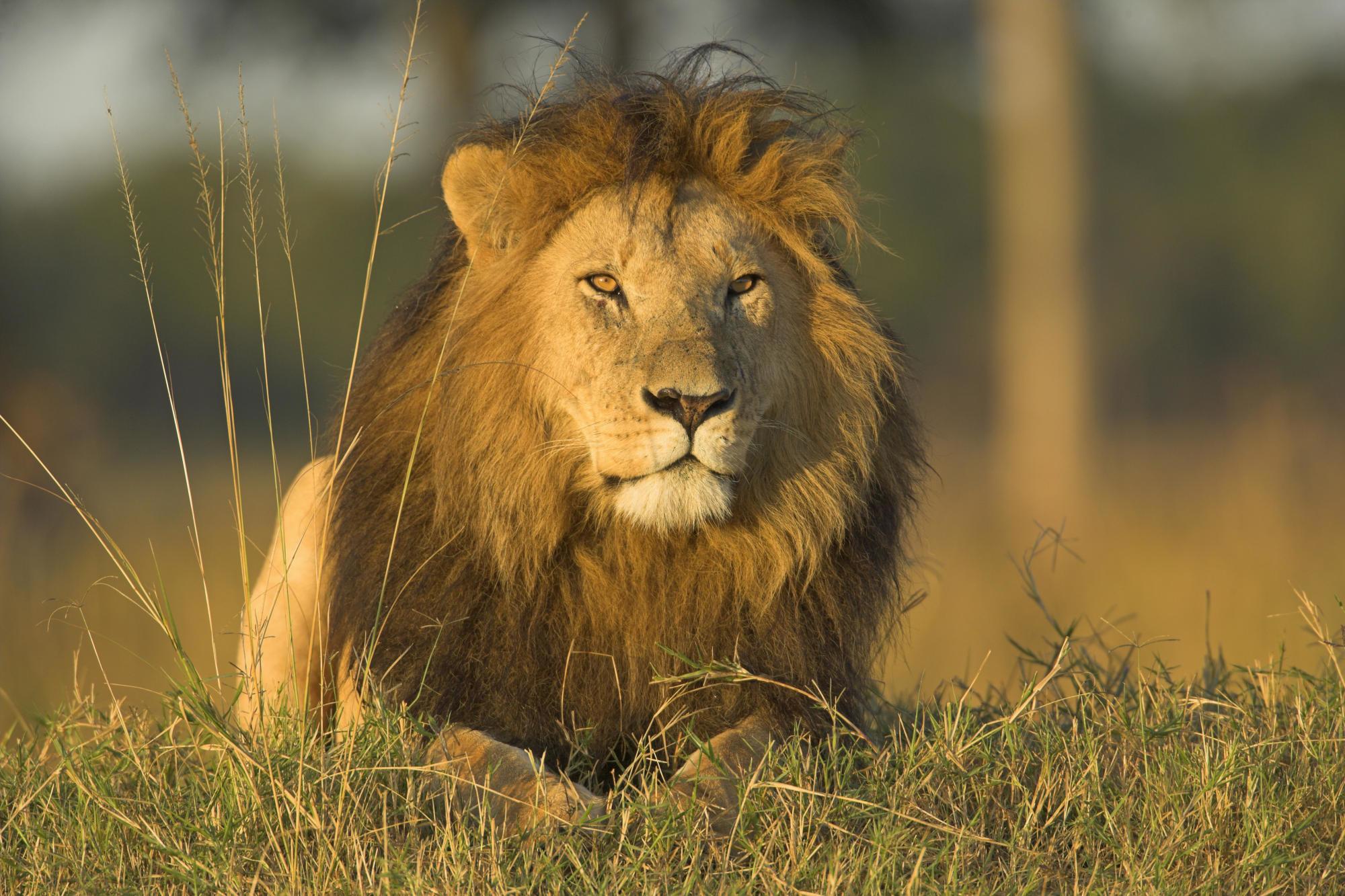 Big cat lion wallpaper