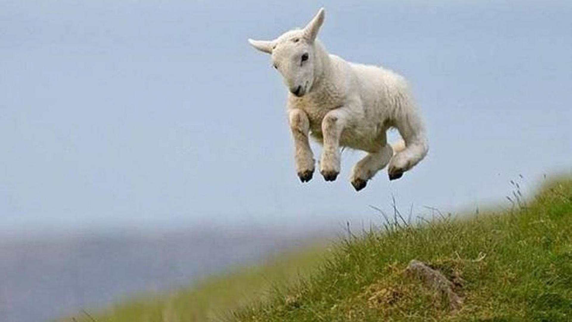 leaping lamb wallpaper – (#85880) – HQ Desktop Wallpapers .