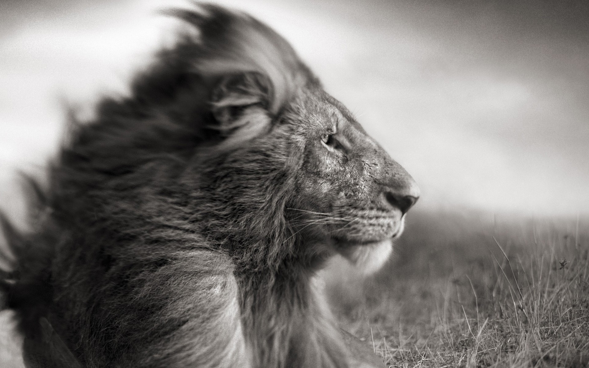 lioness and lion pictures wallpaper