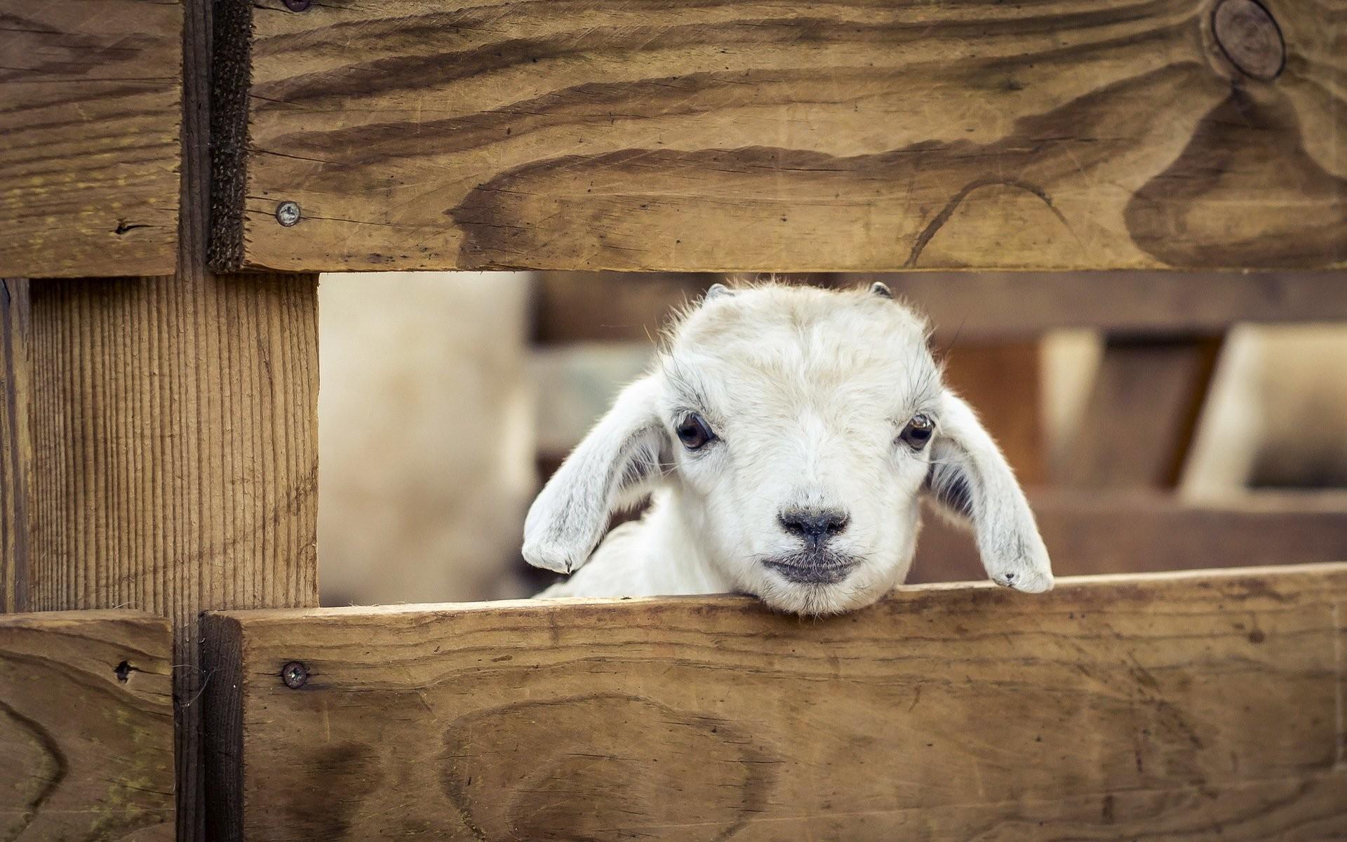Other Pets sheep Animals lamb baby wallpaper     348878 .