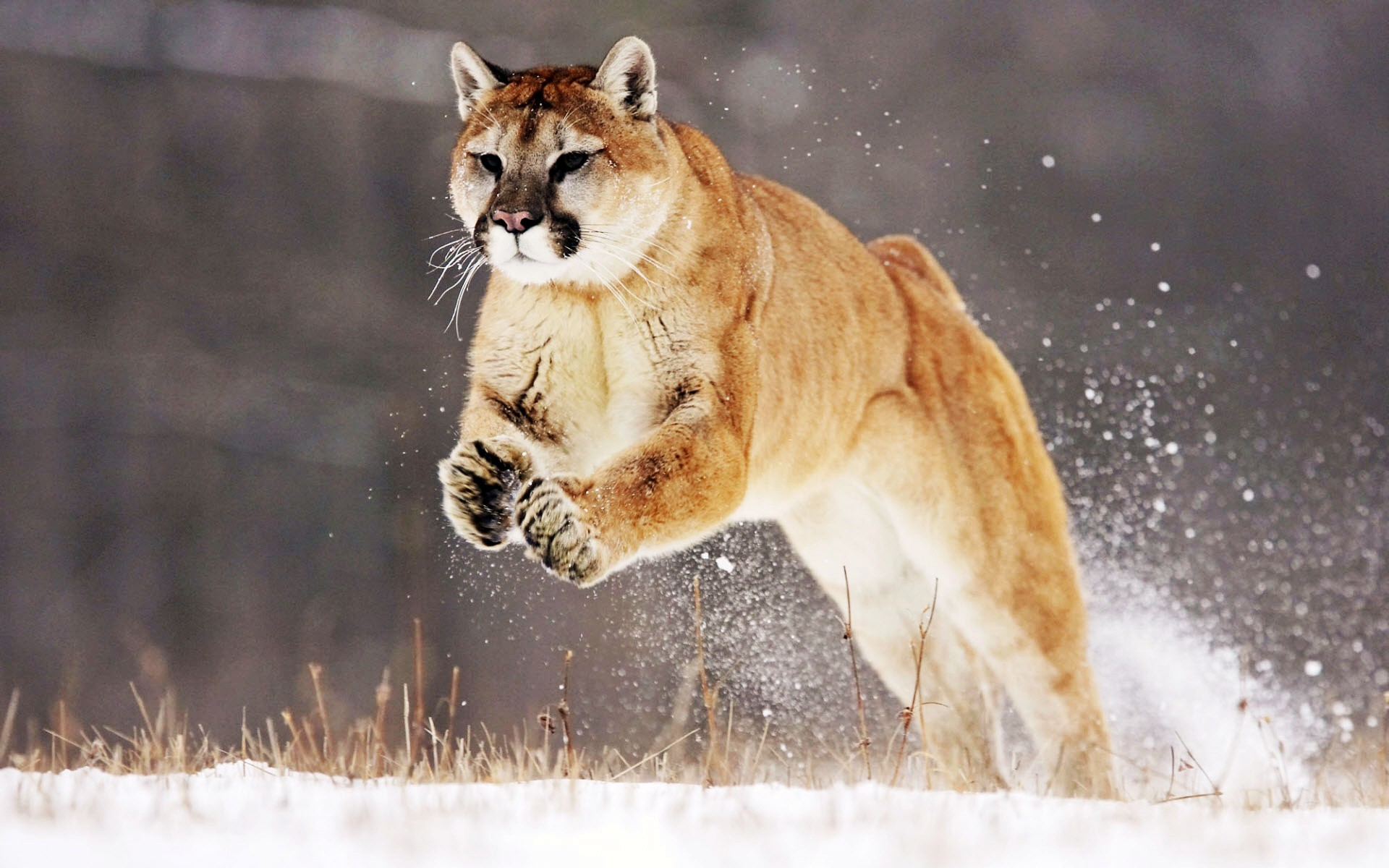 hunting images with mountain lion in background