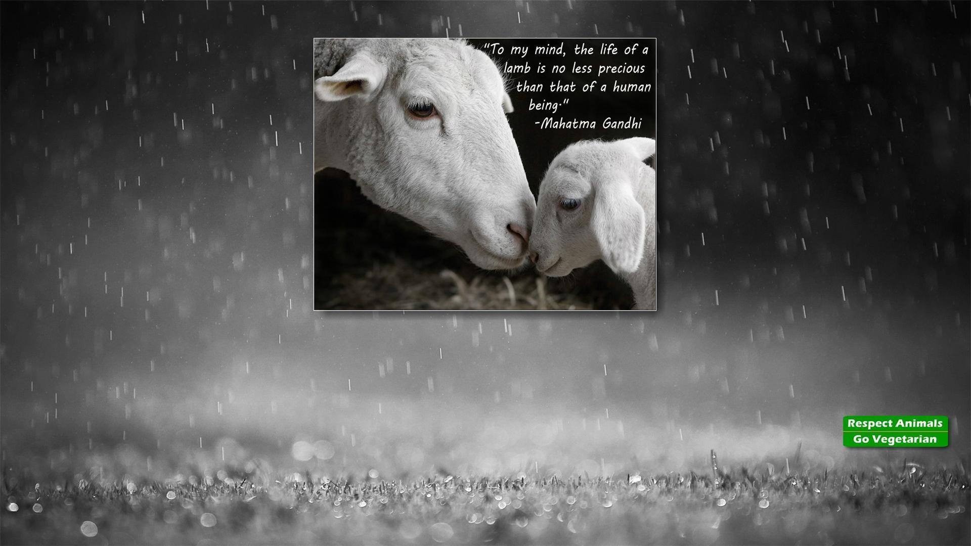 Lamb Mahatma Ghi