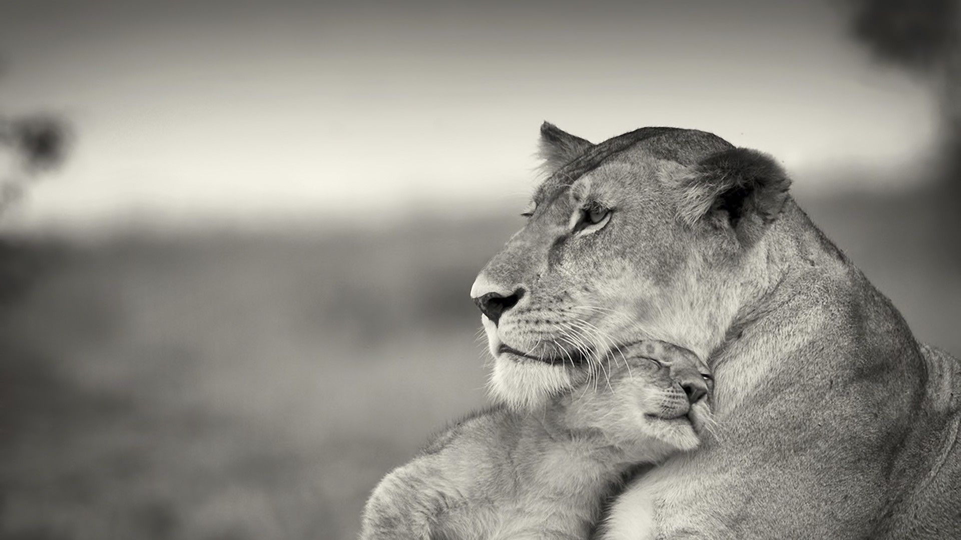 Preview wallpaper lion, couple, wool, cub, black and white 1920×1080