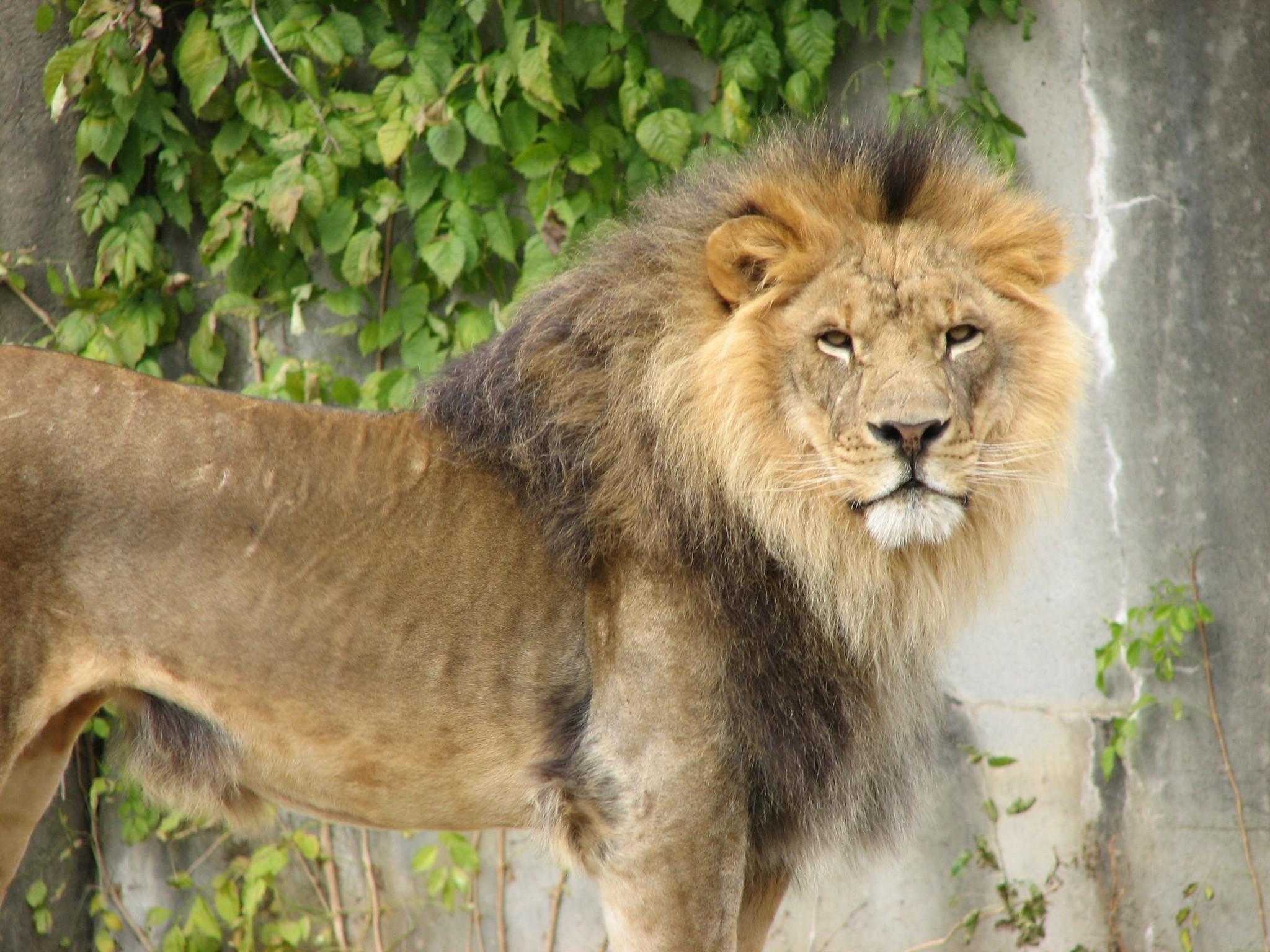 File:Handsome Lion 001.jpg