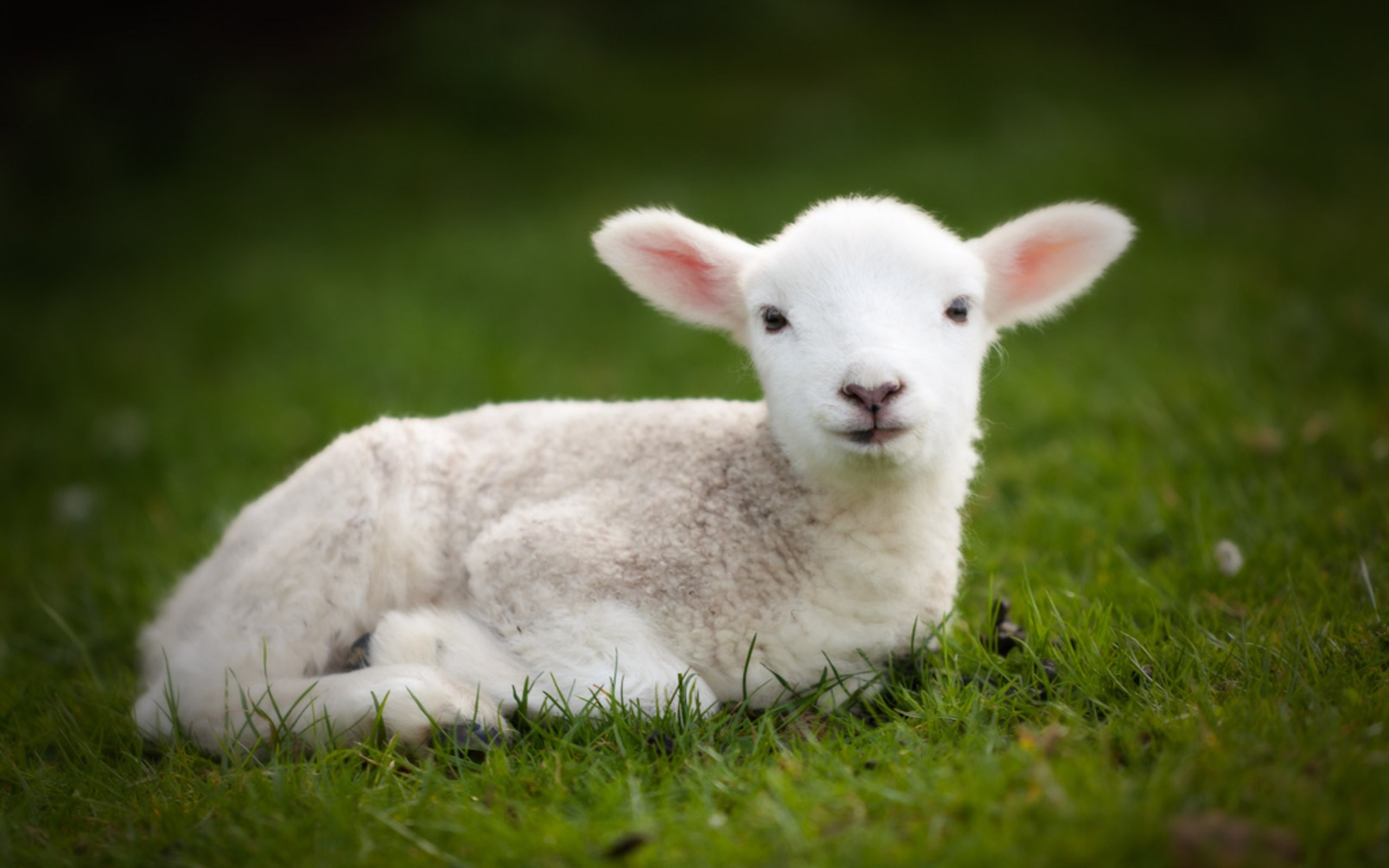 Cute baby sheep wallpapers