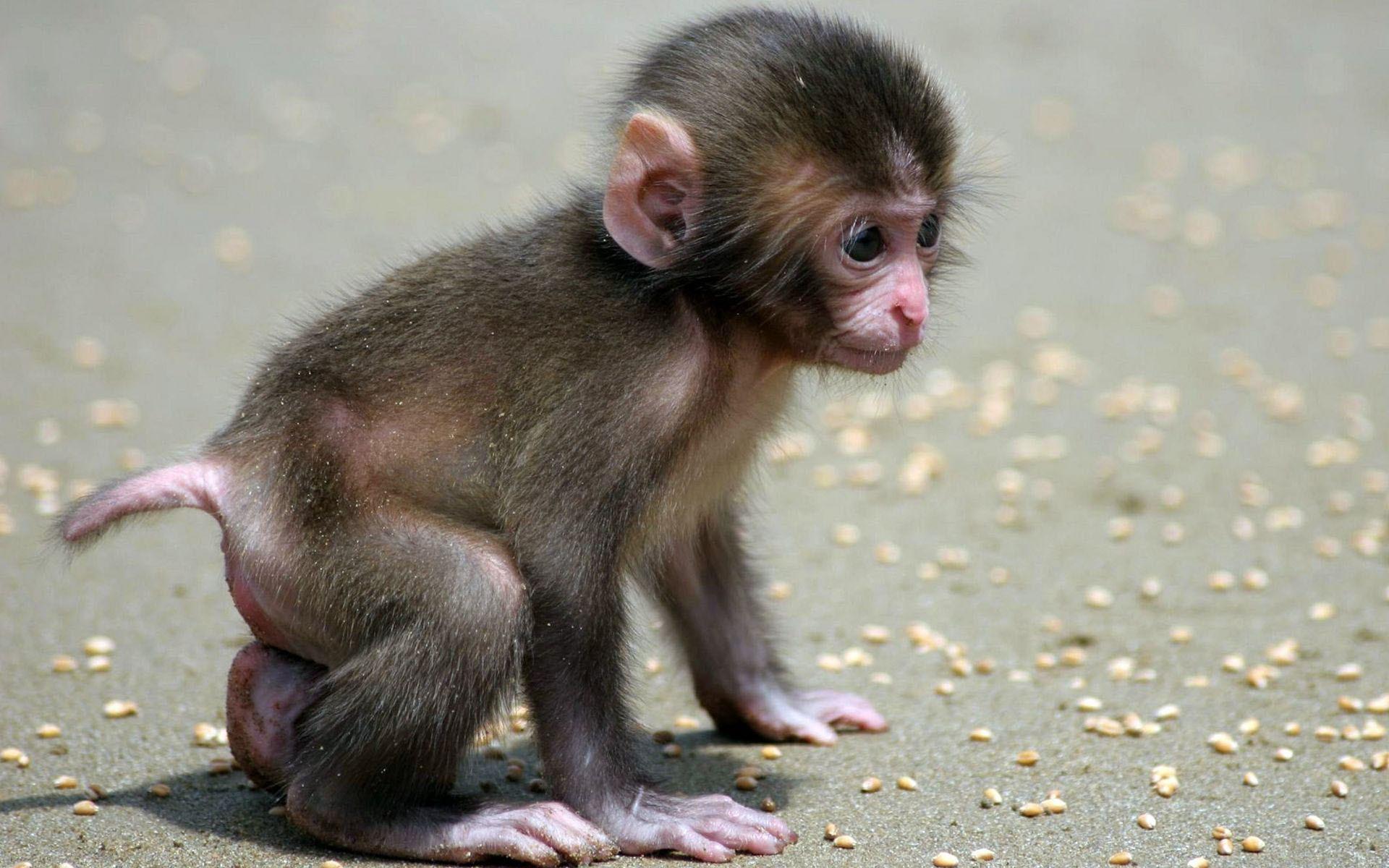 baby monkey cute walking little desktop wallpaper download baby monkey .