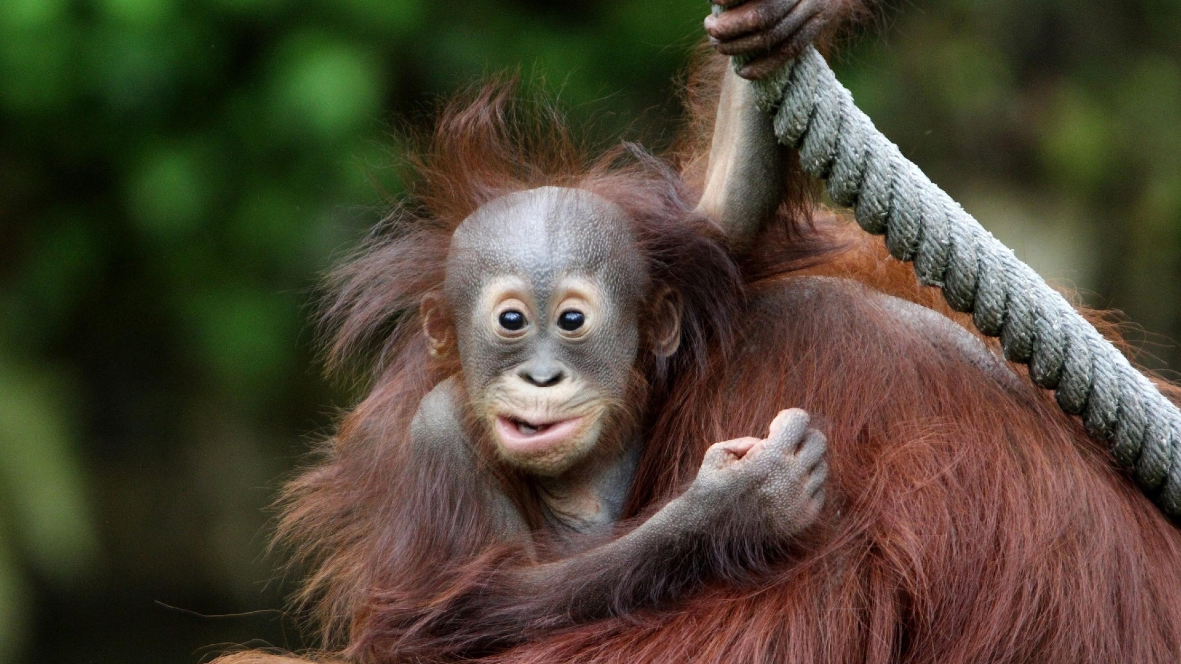 Wallpaper monkey, face, eyes, baby