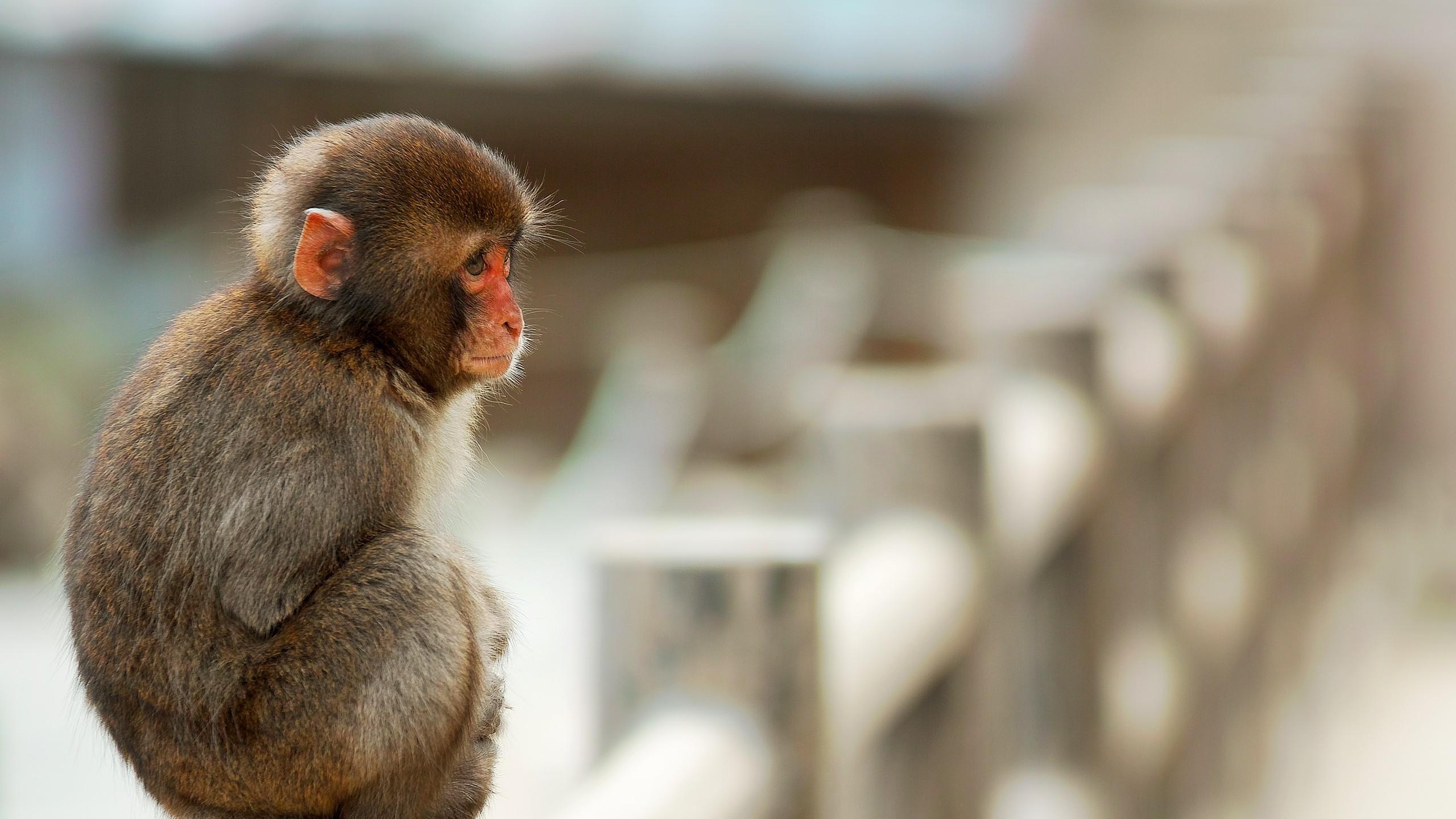 Wallpaper monkey, sitting, small