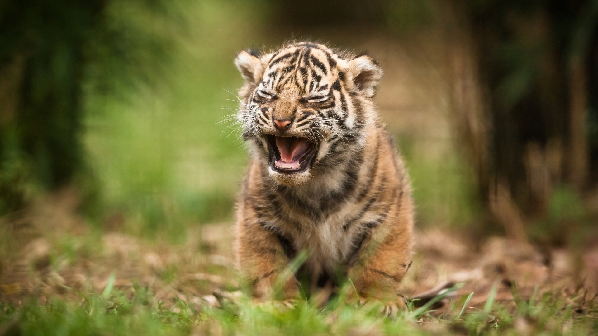 """Search Results for """"baby tiger wallpaper hd"""" – Adorable Wallpapers"""