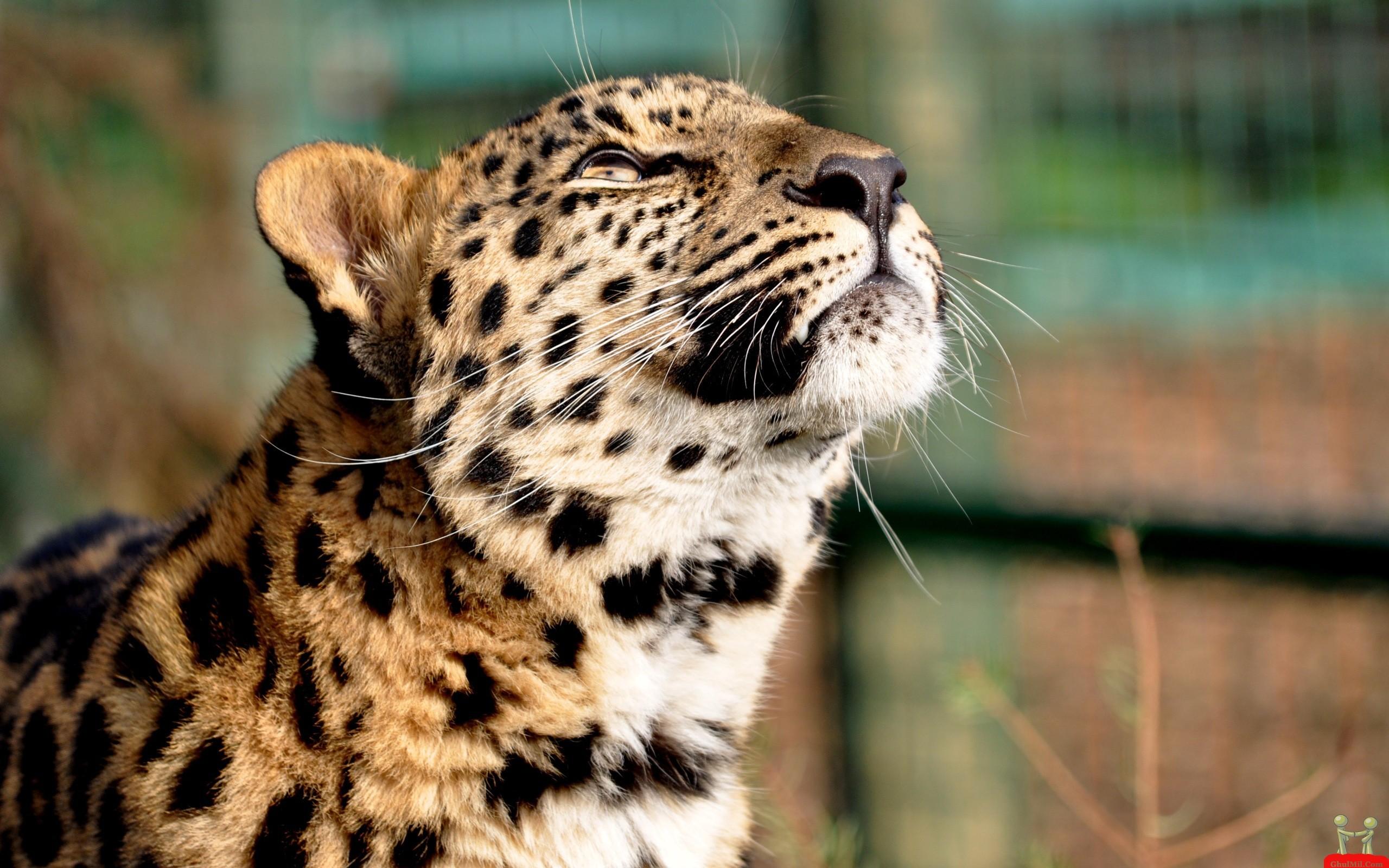 Cheetah Baby Desktop Wallpaper