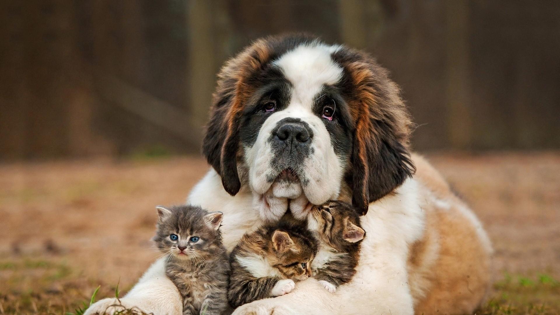 Cute baby cat and big dog nice animal wallpaper