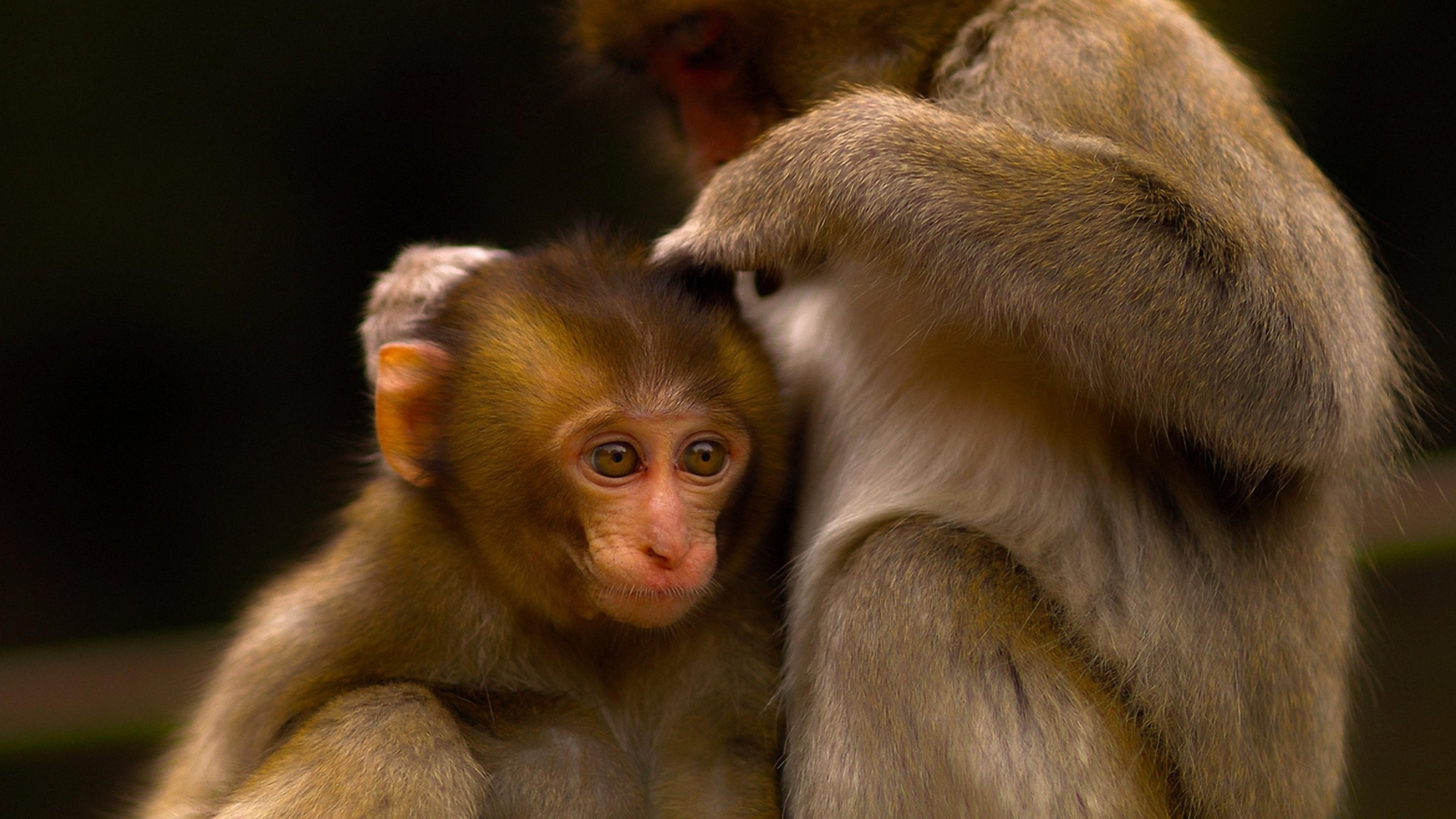 Wallpaper monkey, couple, care, baby