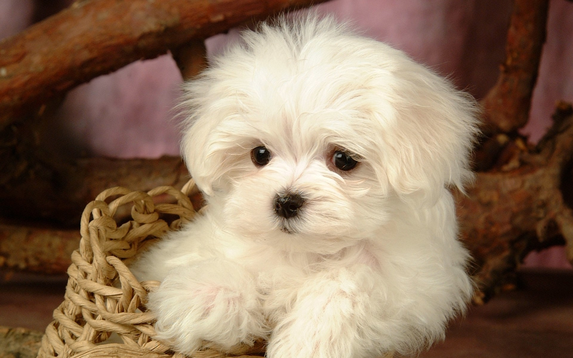 puppies, screen, saver, dog, lovely, plains, animal .