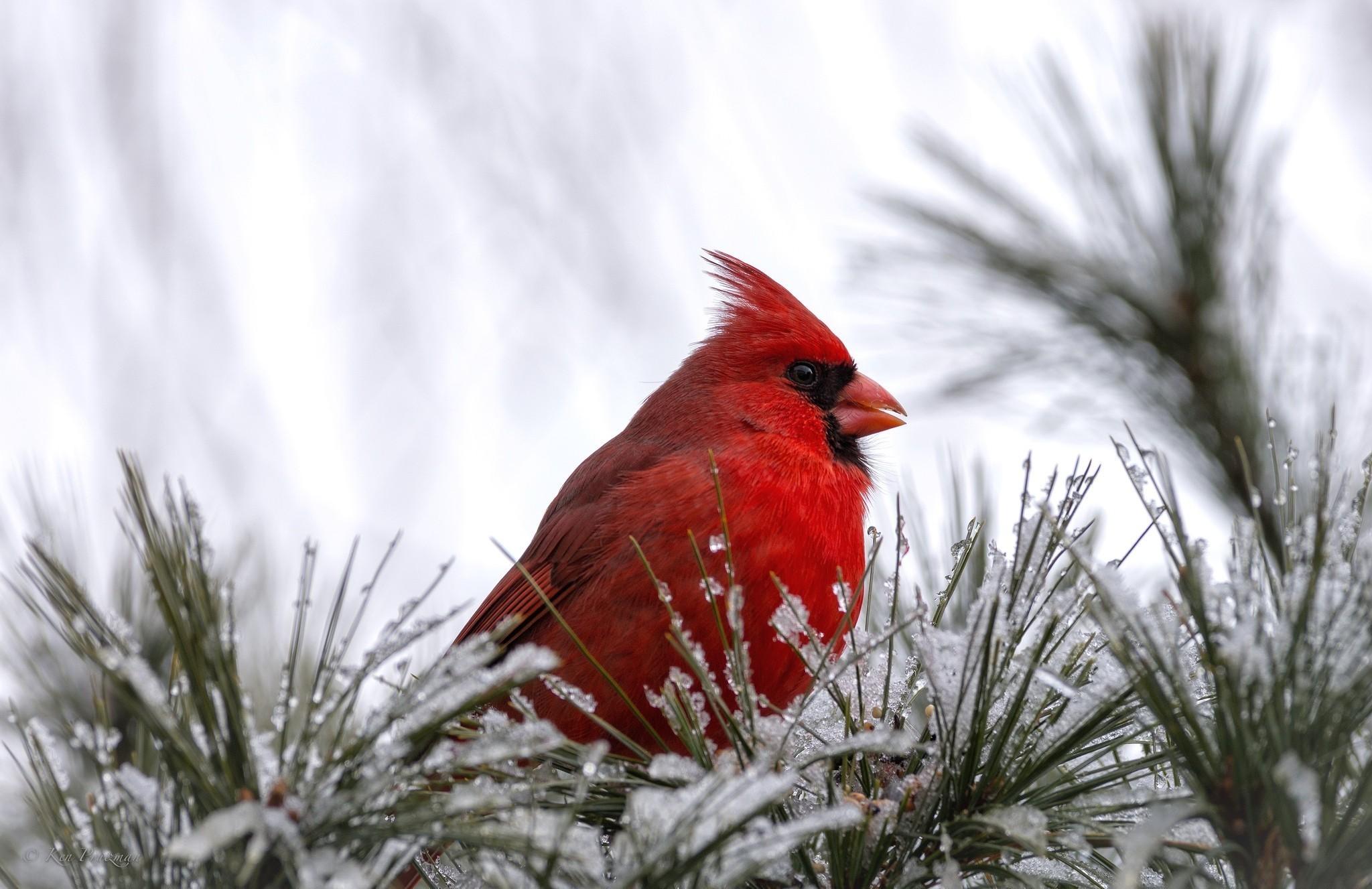 Wallpaper cardinal, bird, bird, red, snow wallpapers animals .