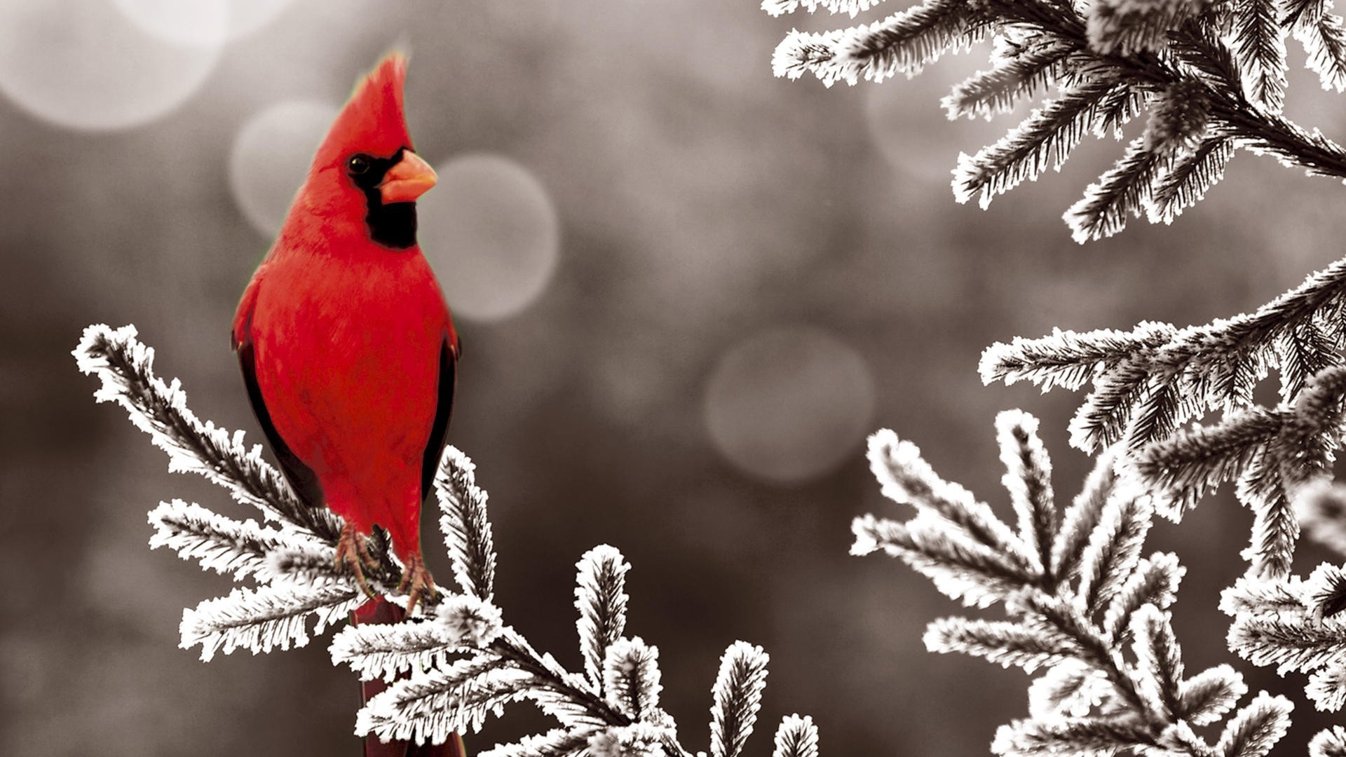 Cardinal In Snow Background