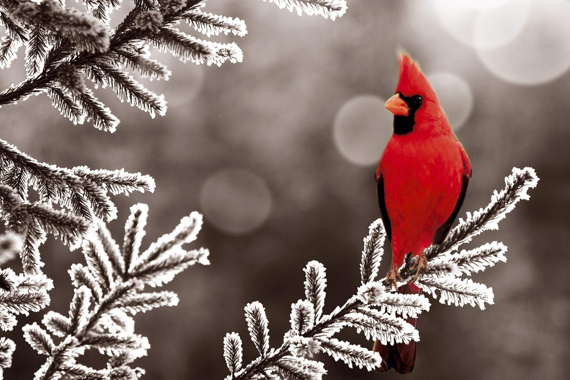 HD Wallpaper and background photos of male cardinal perched in a tree in  the snow for fans of Birds images.