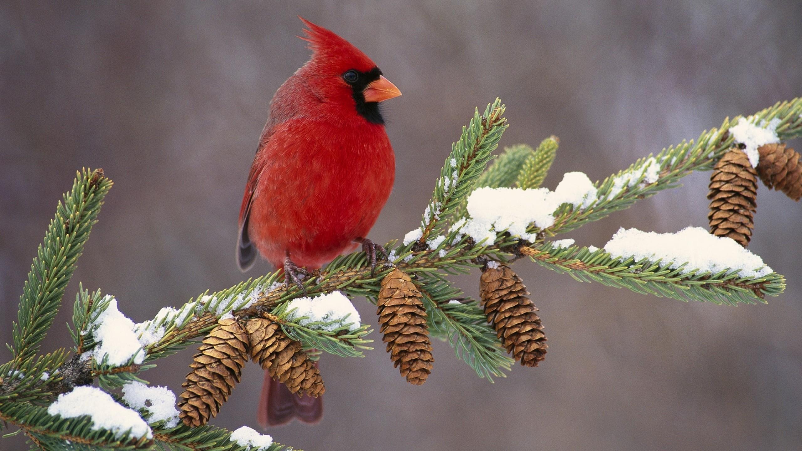 Wallpaper cardinal, bird, color, branch, snow