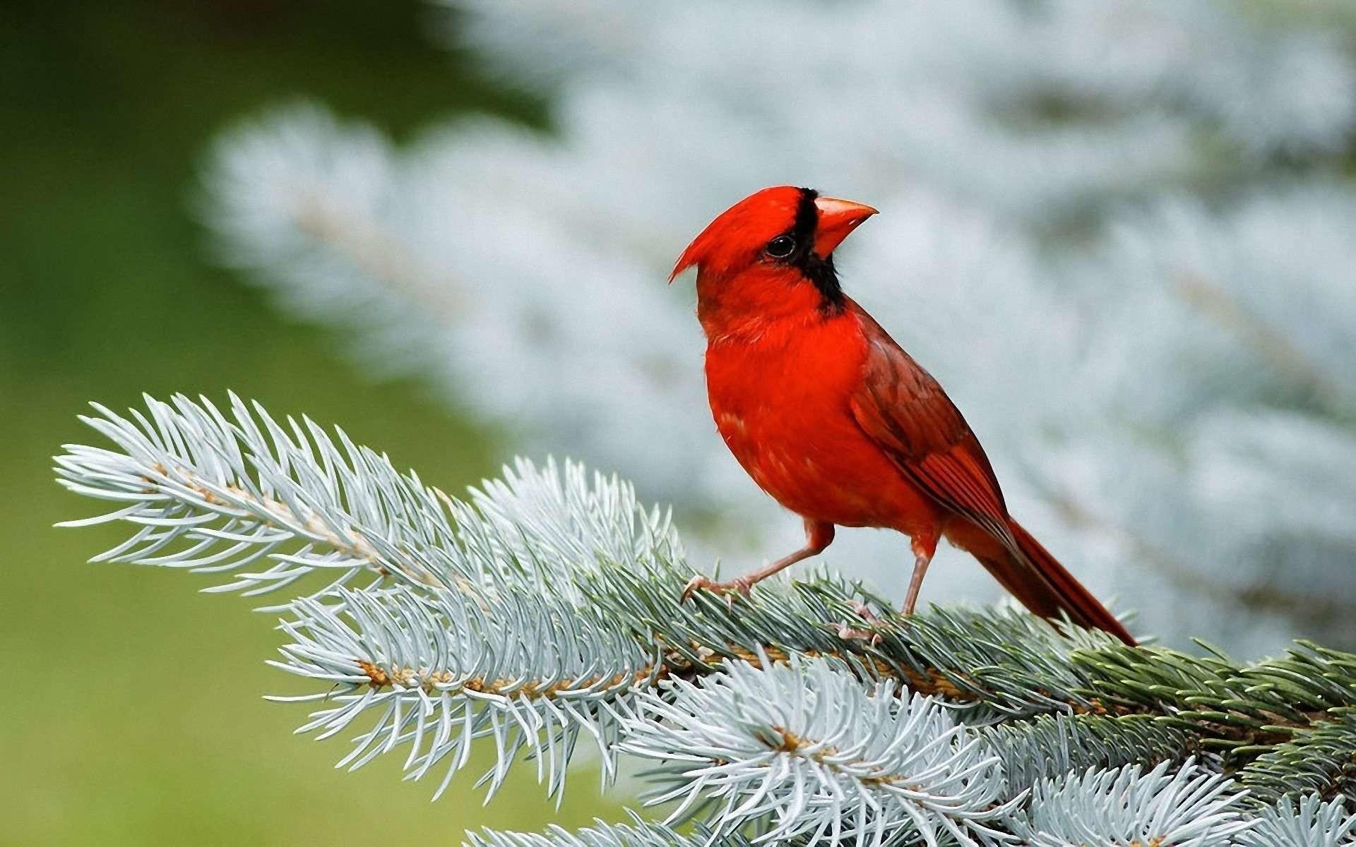Cardinal Bird Wallpaper | HD Wallpapers Source